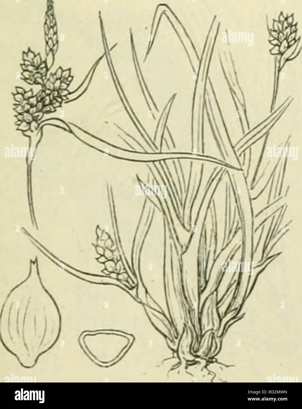. De flora van Nederland. Plants. Carex flava /S. Oederi Fig. 831. 1) flava = geel. -) eu-flava = echt flava. ') Oederi = Oeder's.. Please note that these images are extracted from scanned page images that may have been digitally enhanced for readability - coloration and appearance of these illustrations may not perfectly resemble the original work.. Heukels, Hendrik, 1854-1936. Leiden : N. v. boekhandel en drukkerij voorheen D. J. Brill - Stock Image
