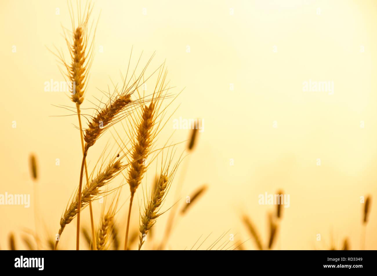 Golden Wheat - Stock Image