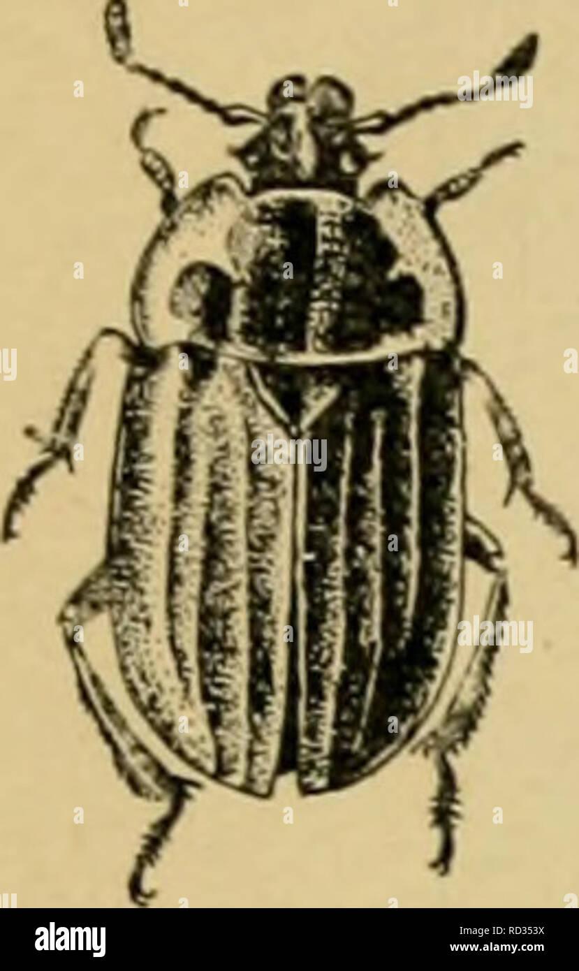 Elementary Entomology Entomology The Beetles 14 Fig 201 A
