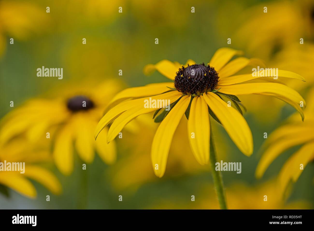 yellow flower coneflower Echinacea close up - Stock Image