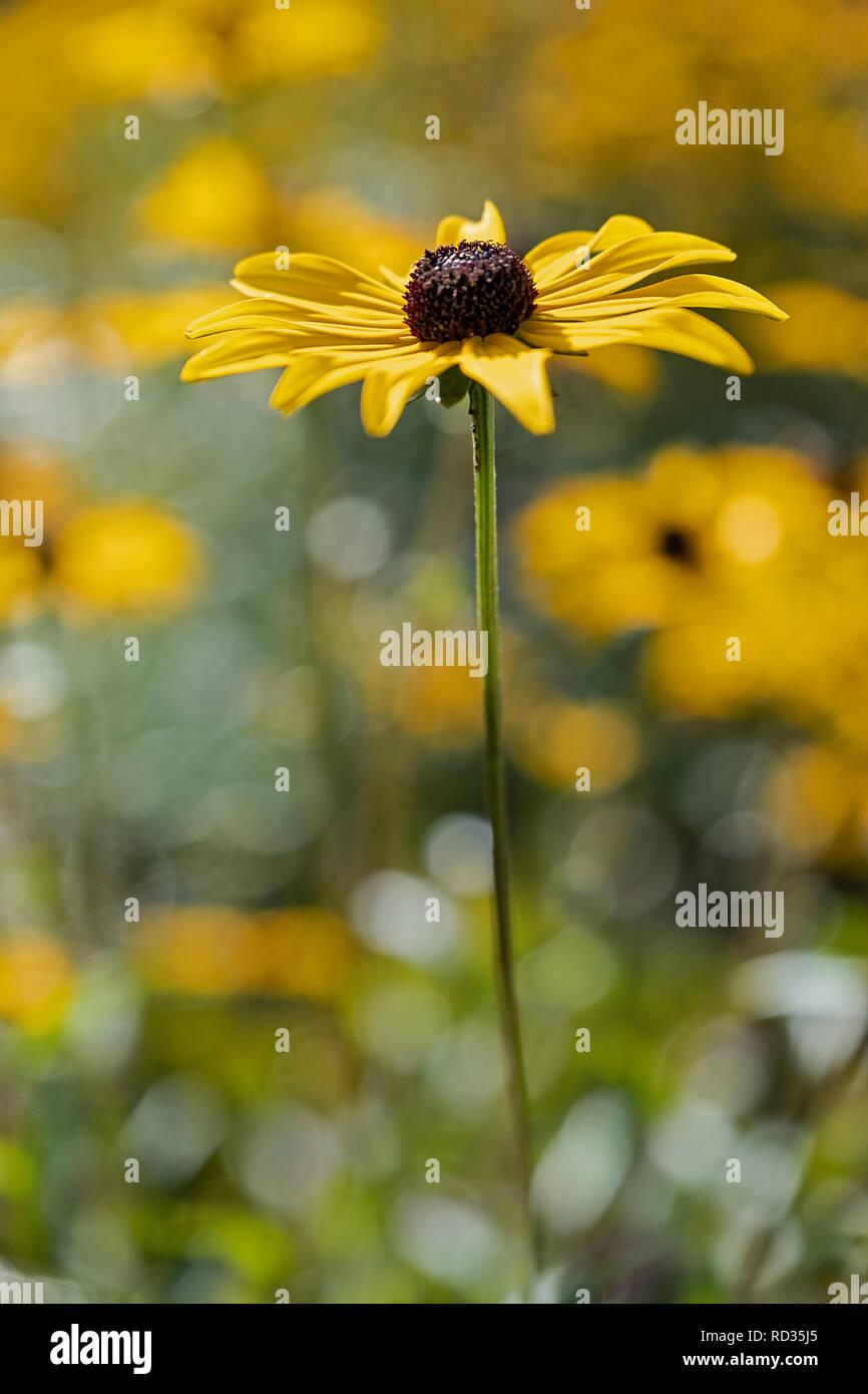 yellow flower coneflower Echinacea - Stock Image