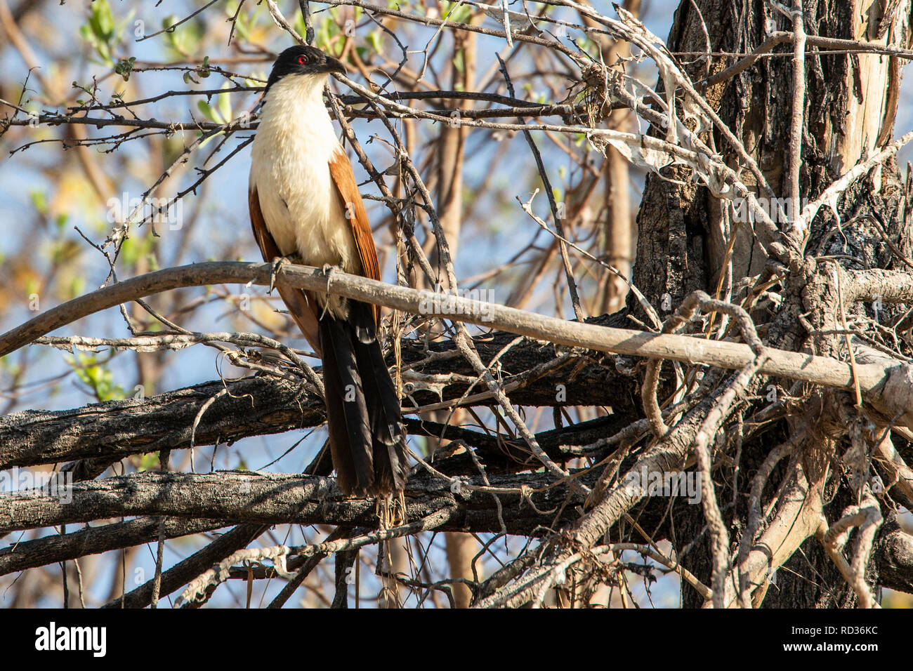Coppery-tailed coucal (Centropus cupreicaudus) by the Zambezi River. - Stock Image
