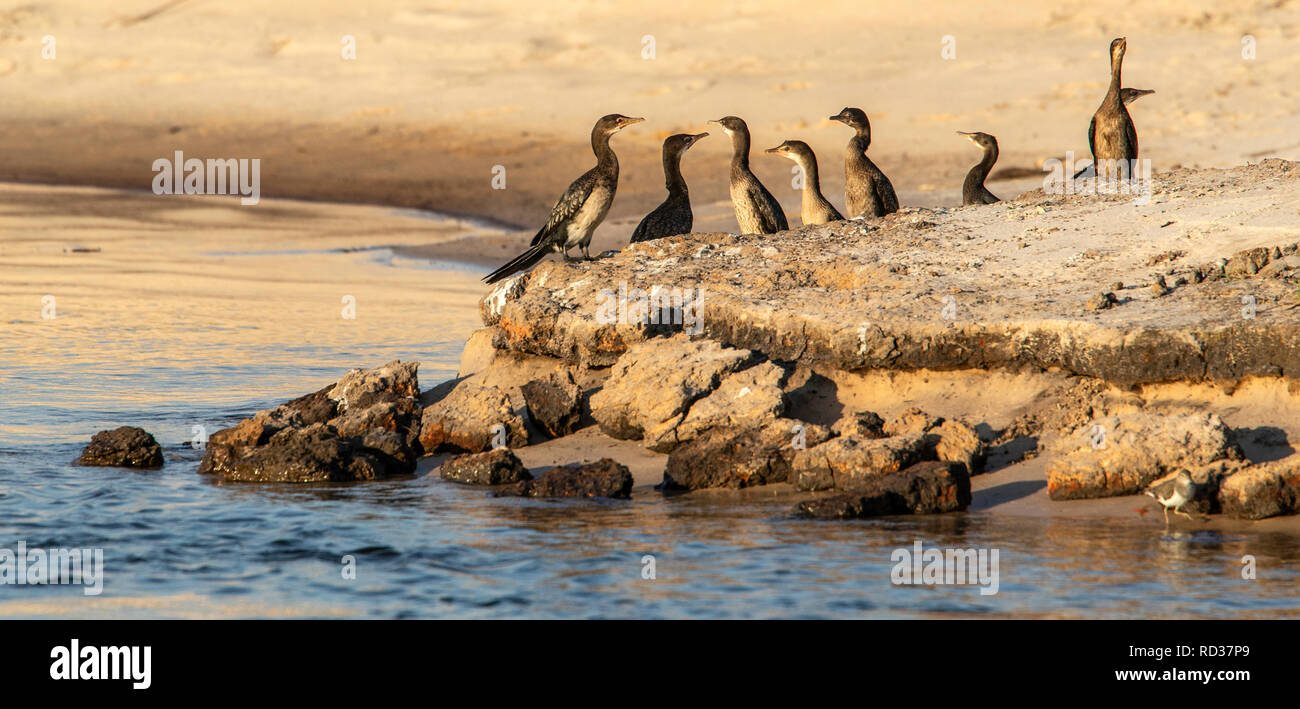 African Darters, snakebirds or Anhinga (melanogaster) on a sandbank in the Zambezi. - Stock Image