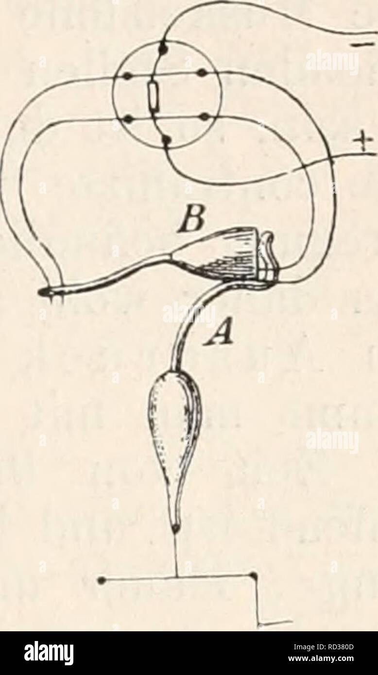 """. Elektrophysiologie. Die elektromotorischen Wirkungen der Mnskeln. 321 Wege steht^ Keizwelle und """"Erregungswelle"""" zu iclentiticiren. Es würde sich daher nur darum handeln, die Beziehungen zwischen dieser letzteren und der """"Contractionswelle'^ festzustellen. Der Umstand, dass die Contraction des Muskels ein Latenzstadium besitzt, Avährend die """"Reizwelle"""" ein solches nach Bernstein nicht erkennen lässt, beweist ohne Weiteres, """"dass in einer gereizten Muskelfaser die Keizwelle der Contractionswelle wenigstens theilweise voranläuft"""". In der That machte Helmholtz schon im Jahre 1854 Stock Photo"""