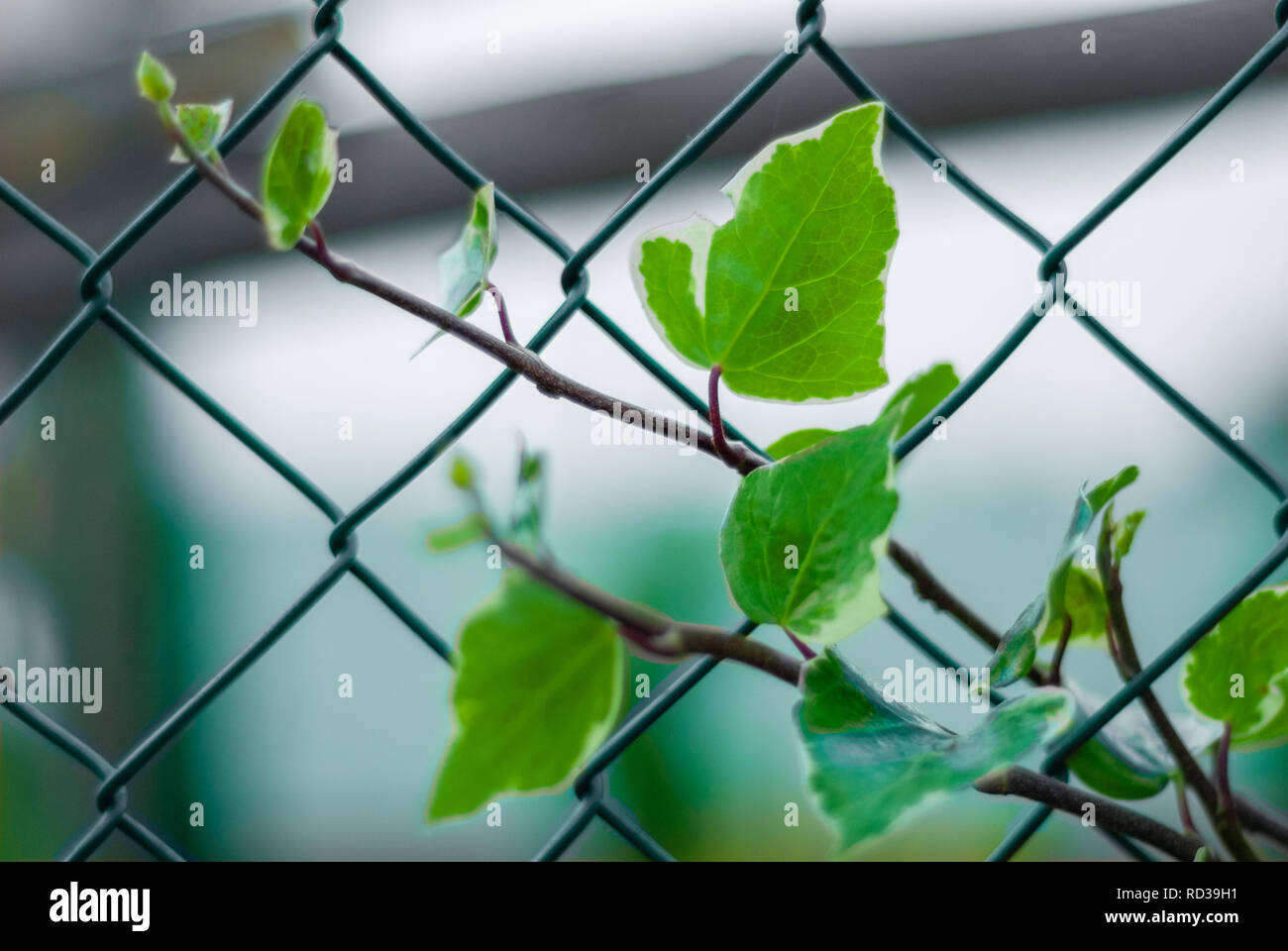 Leaves of climbing ivy, tangled to a wire grid - Stock Image