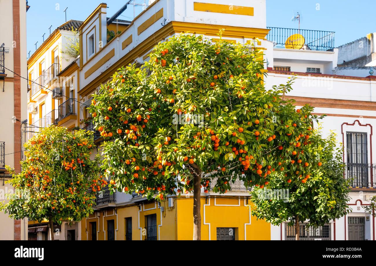 Orange trees on a public street in Seville, Spain - Stock Image
