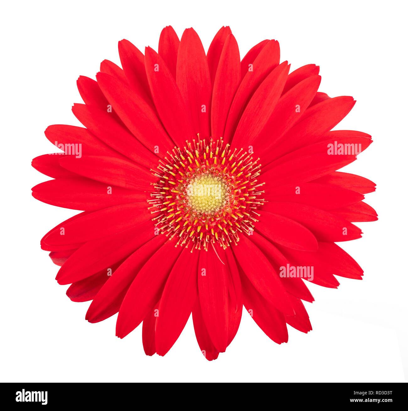 Gerbera flower isolated on white background Stock Photo