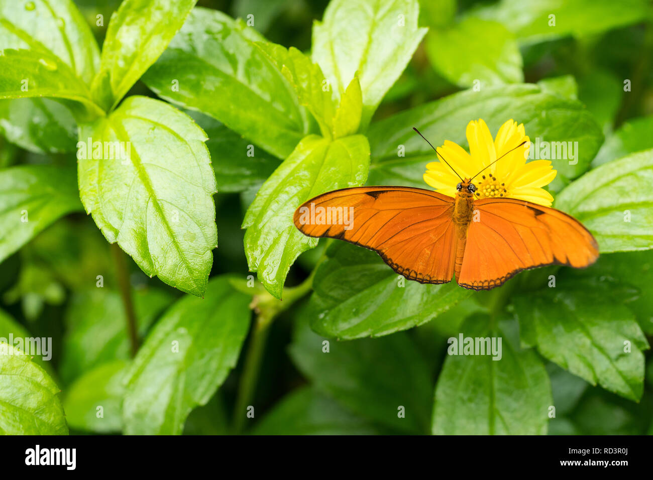 Close up of an orange Julia butterfly or Julia heliconian or the flame, or flambeau Dryas iulia - Stock Image