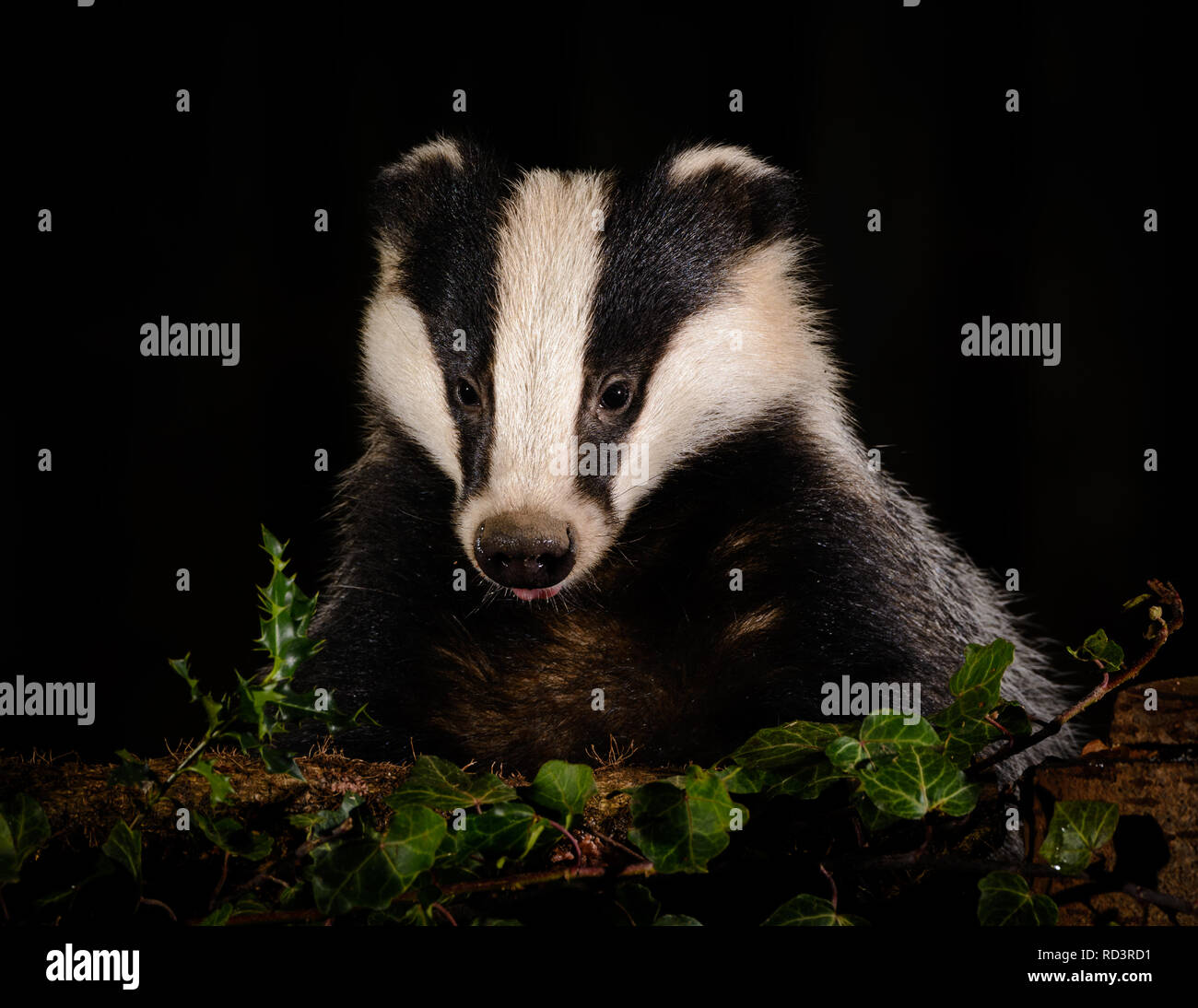 An Iconic Wild Badger in Sheffield, U.K. Badgers have been heavily persecuted in recent times but are amazing to see, very shy and elusive. - Stock Image