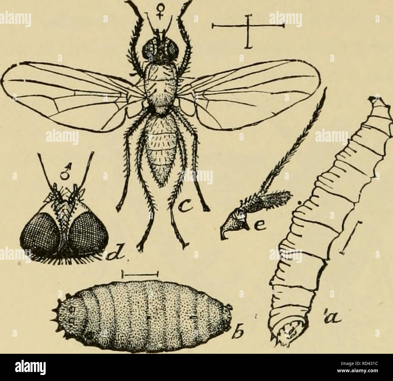 Elementary entomology  Entomology  2 38 ELEMENTARY ENTOMOLOGY The