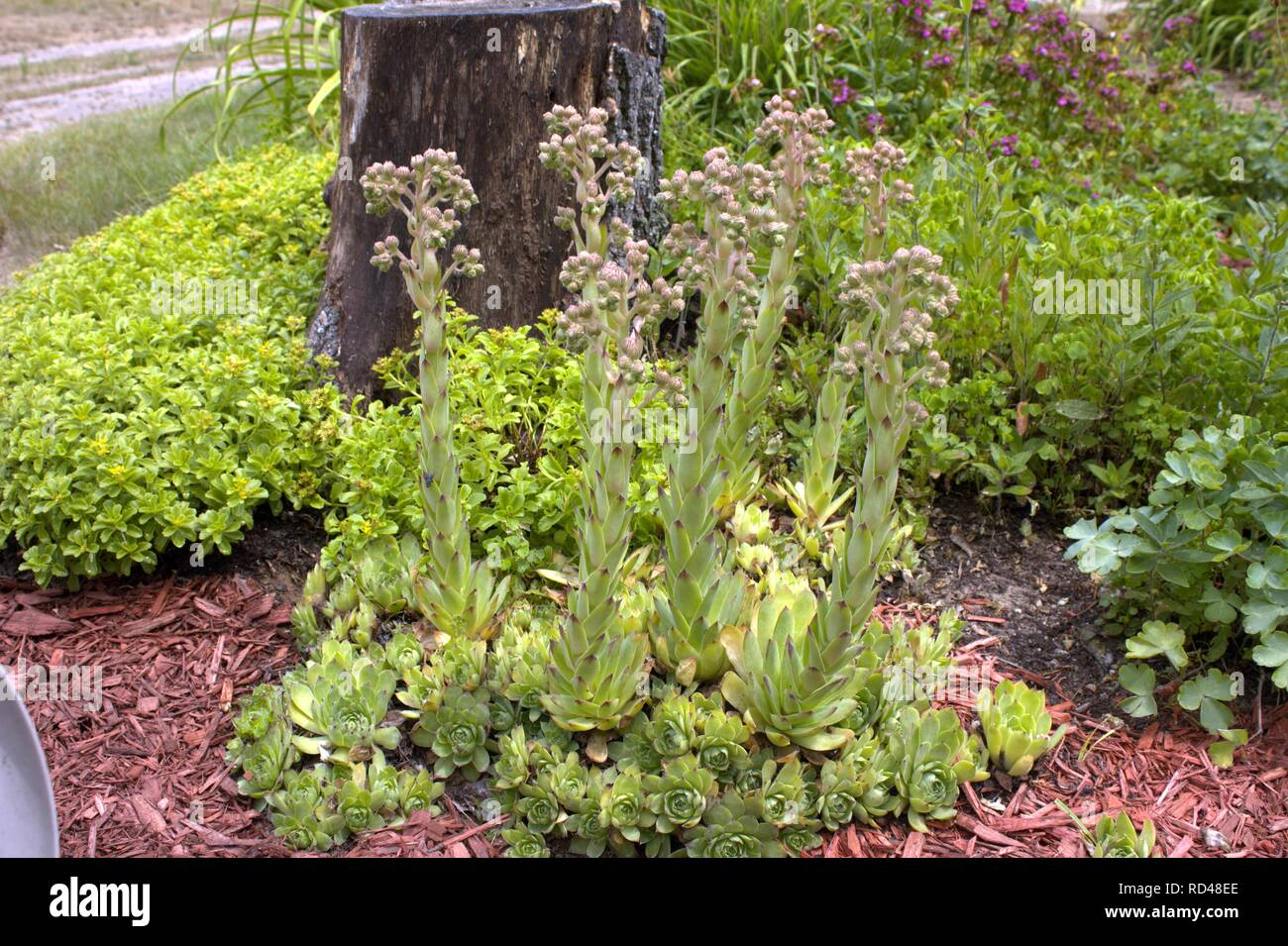 Long Blooming Stalks Of Hens And Chicks - Stock Image