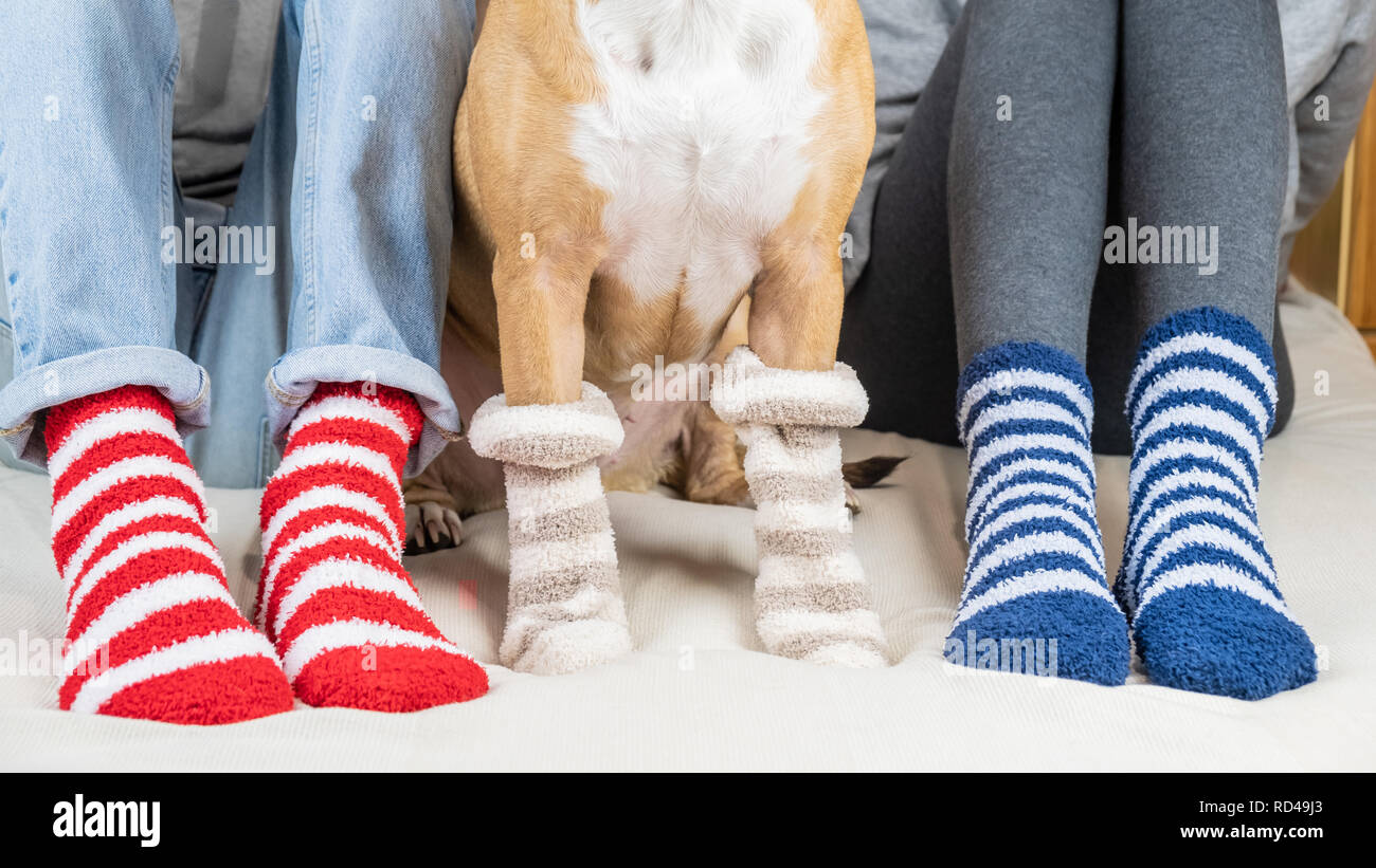 Staffordshire terrier and two people sitting on the bed wearing similar striped socks. Pet owners and dog in colorful socks sitting on  in bedroom, co - Stock Image