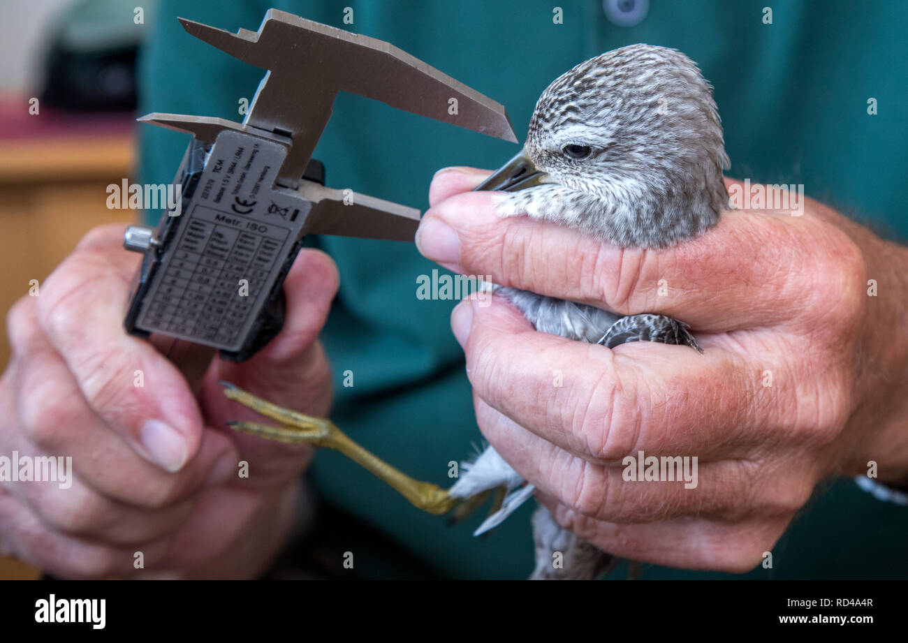 05 September 2018, Mecklenburg-Western Pomerania, Malchow (poel): A Knuttstrandläufer is measured and ringed by Horst Zimmermann on the bird protection island Langenwerder. Ornithologists count and ring thousands of migratory birds every autumn on the 21-hectare island off the Baltic island of Poel. The island in Wismar Bay, which has been a nature reserve since 1937, is Mecklenburg's oldest seabird sanctuary. From spring to mid-November, the barren island is inhabited by volunteers. Photo: Jens Büttner/dpa-Zentralbild/ZB Stock Photo