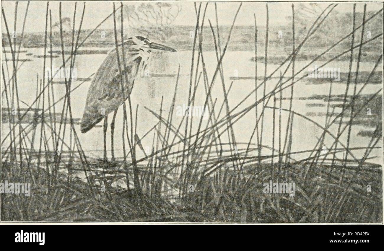 . Dansk ornithologisk forenings tidsskrift. Birds -- Periodicals; Birds -- Denmark Periodicals. 142 næppe var sj'nlige, fortalte paa deres Sprog, at ogsaa de var paa Vej. Det er efterhaanden blevet mange Ture af lignende Art, jeg har udført i Aarenes Løb, og dog er Aftenerne ved Fjorden ikke mindre tiltalende. Man kan anbringe sig i Strandkanten skjult af Tang og iagttage de trækkende Fugle, naar man ser i den. Hejre ved Fjorden. Retning, hvor Solen er gaaet ned, fordi Vandet her længe be- holder den lyse Farve. En Aften daler der højt fra Himlen, i Begyndelsen først synlige som mørke Prikker, - Stock Image