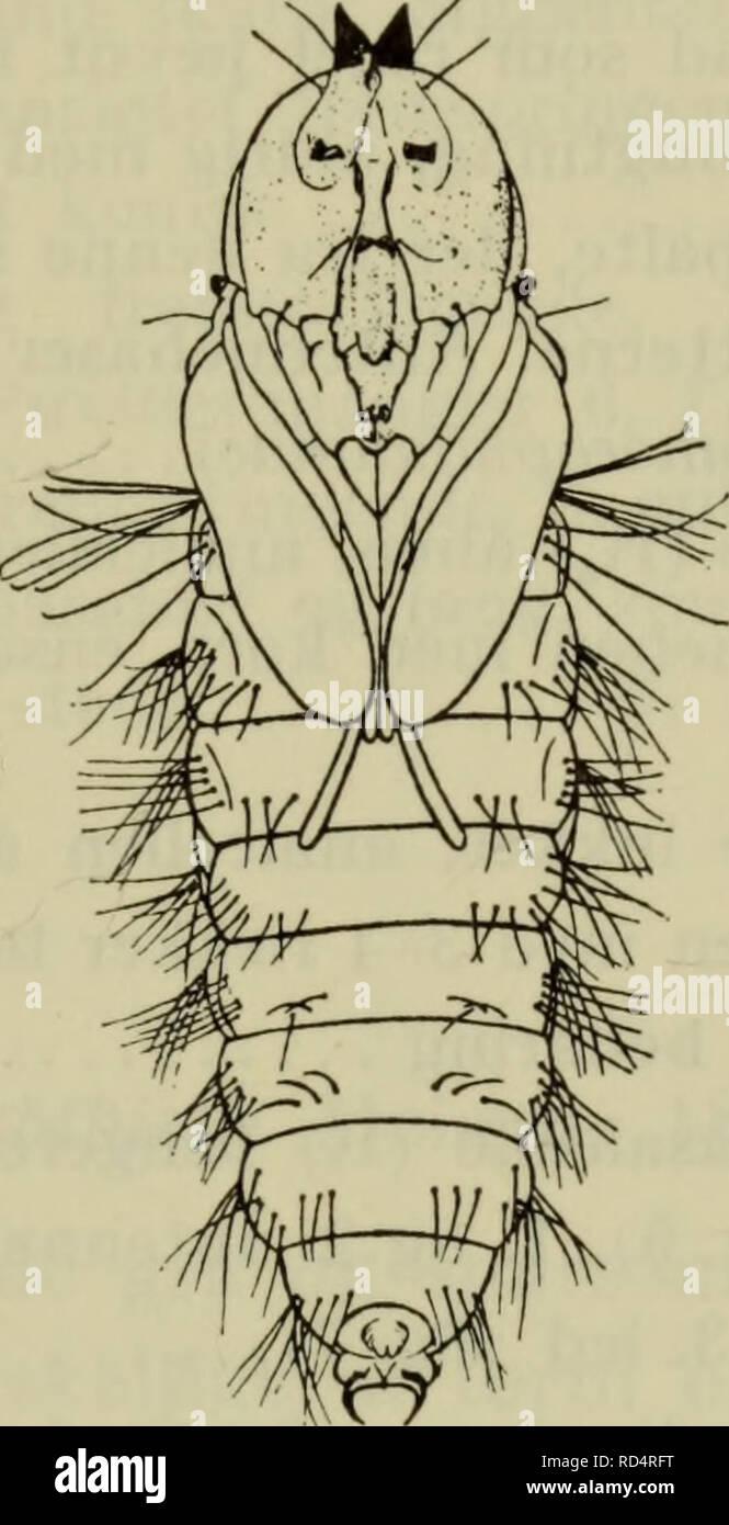 . Danmarks fauna; illustrerede haandbøger over den danske dyreverden... Puppen (fig. 3) er fri og bevægelig og forsynet med horn på hovedet samt børster og torne på krops- leddene, hvilket gør den i stand til at arbejde sig igennem de ofte meget stærke vægge i biers og hvepses. Fig. 3. Puppe af Hemipenthes morio L. set fra undersiden. (Hennig). celler og igennem jord. Pupperne hos humlefluer og rovfluer er hinanden meget lig. Hos de første er de forreste antennehorn tætstillede, hos rovfluerne mere adskilte (se fig. 105). Hos humlefluerne er de bageste antennehorn ikke kamformet ordnet som hos - Stock Image