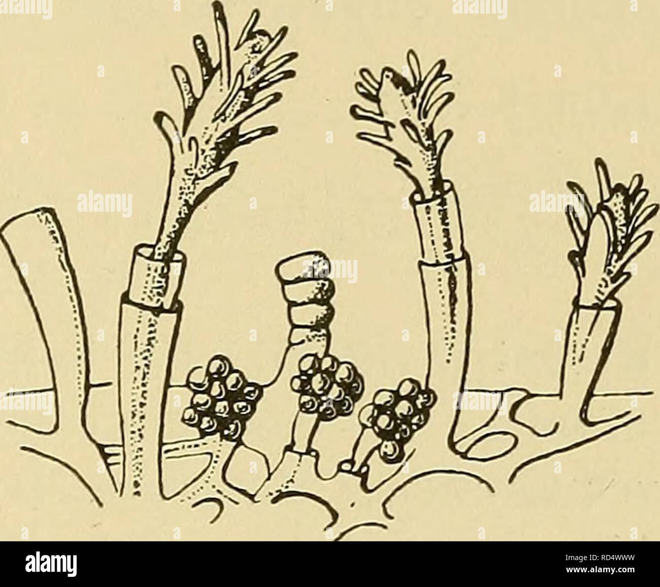 . Danmarks fauna; illustrerede haandbøger over den danske dyreverden... . Fig. 33. Merona cornucopiæ; a nat. Størrelse, paa en Astarte b forstørret, med Gonoforer. (Efter Hincks). 1. Mérona cornucopiæ Norman (Tubiclåva cornucopiæ) (Fig. 33). Kolonien bestaar af krybende Stoloner, hvorfra ud- gaar smaa ugrenede Stammer, ca. 5 mm høje, omgivne af et Perisarkrør, der er smalt forneden, jævnt tiltagende i Vidde opefter. Det kølleformede Hydranth kan trække sig ind i den øverste Del af Perisarkrøret. De traadfor- mede Tentakler sidder spredt over Hydranthet. Gonoforer i tætte Klynger paa smaa Blast - Stock Image