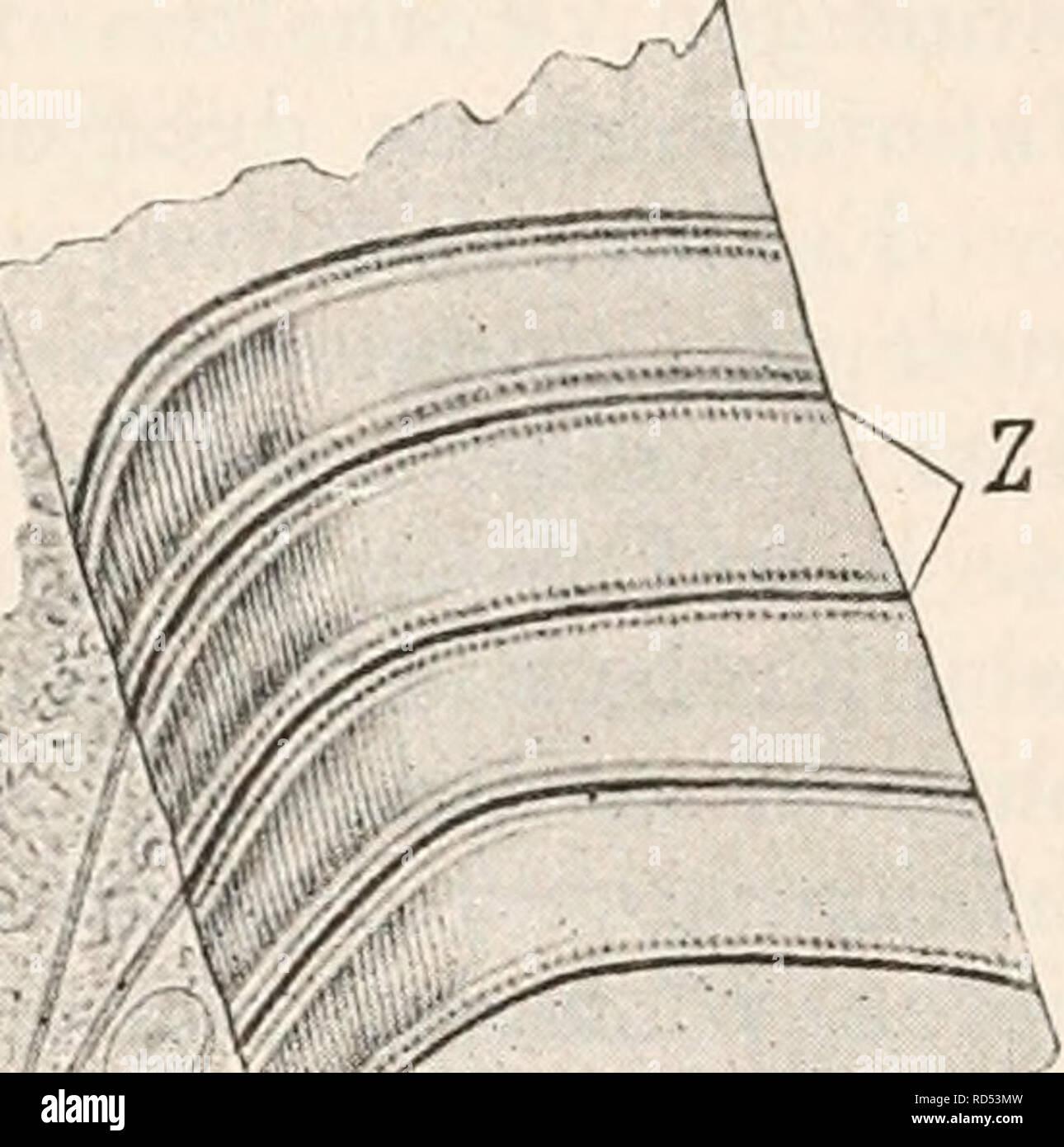 """. Elektrophysiologie. Die elektromotorischen Wirkungen der Nerven. 737. sondere die Thoraxmuskeln grösserer Heuschreckenarten bei An- wendung derselben Methode überaus schöne und klare Bilder, welche indessen durch den Reichthum der Nervenverzweigungen oft an die Rumpfmuskeln der Crustaceen erinnern. Wo sich jedoch gut ent- wickelte Doyer'sche Hügel finden, da bleibt auch """"regelmässig die Verzweigung des eintretenden Axencylinders ähnlich wie bei den End- platten der Wirbelthiere eine local sehr beschränkte. So sah ich bei Hydrophilus den Axencylinder in der Substanz des Hügels sich meist Stock Photo"""