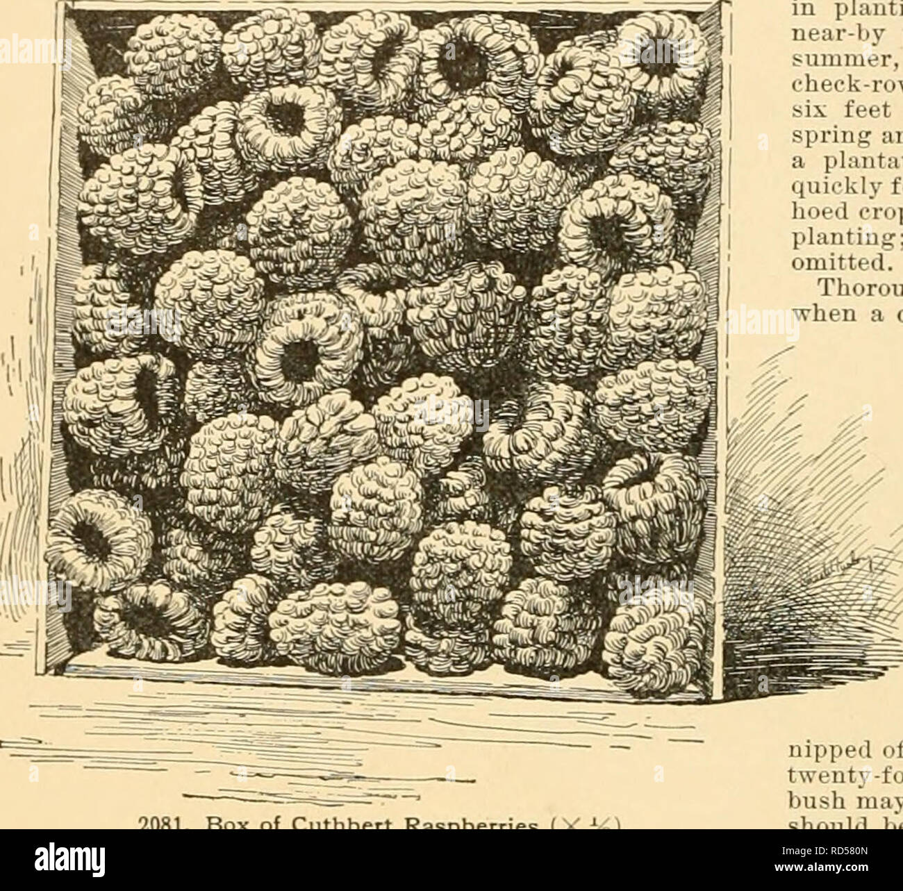 . Cyclopedia of American horticulture : comprising suggestions for cultivation of horticultural plants, descriptions of the species of fruits, vegetables, flowers, and ornamental plants sold in the United States and Canada, together with geographical and biographical sketches. Gardening; Horticulture; Horticulture; Horticulture. 1502 KASPBERRY conditions would not warrant the growing of fruit to be sold fresh. Hybrids of li. strir/osus and B. occiden- talis âknown as M. Herilectiis â have given the purple- cane class, of which Shaffer (Fig. 2082) is a leading example. For further note.s on spe - Stock Image