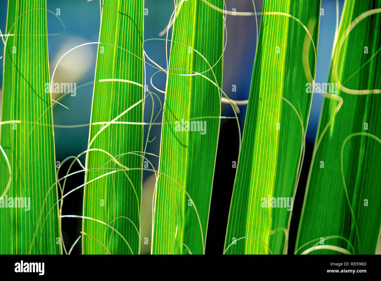 Palm leaf. Close-up of the leaf of a California fan palm (Washingtonia filifera), showing the many green fronds. This palm is native to the desert oas - Stock Image