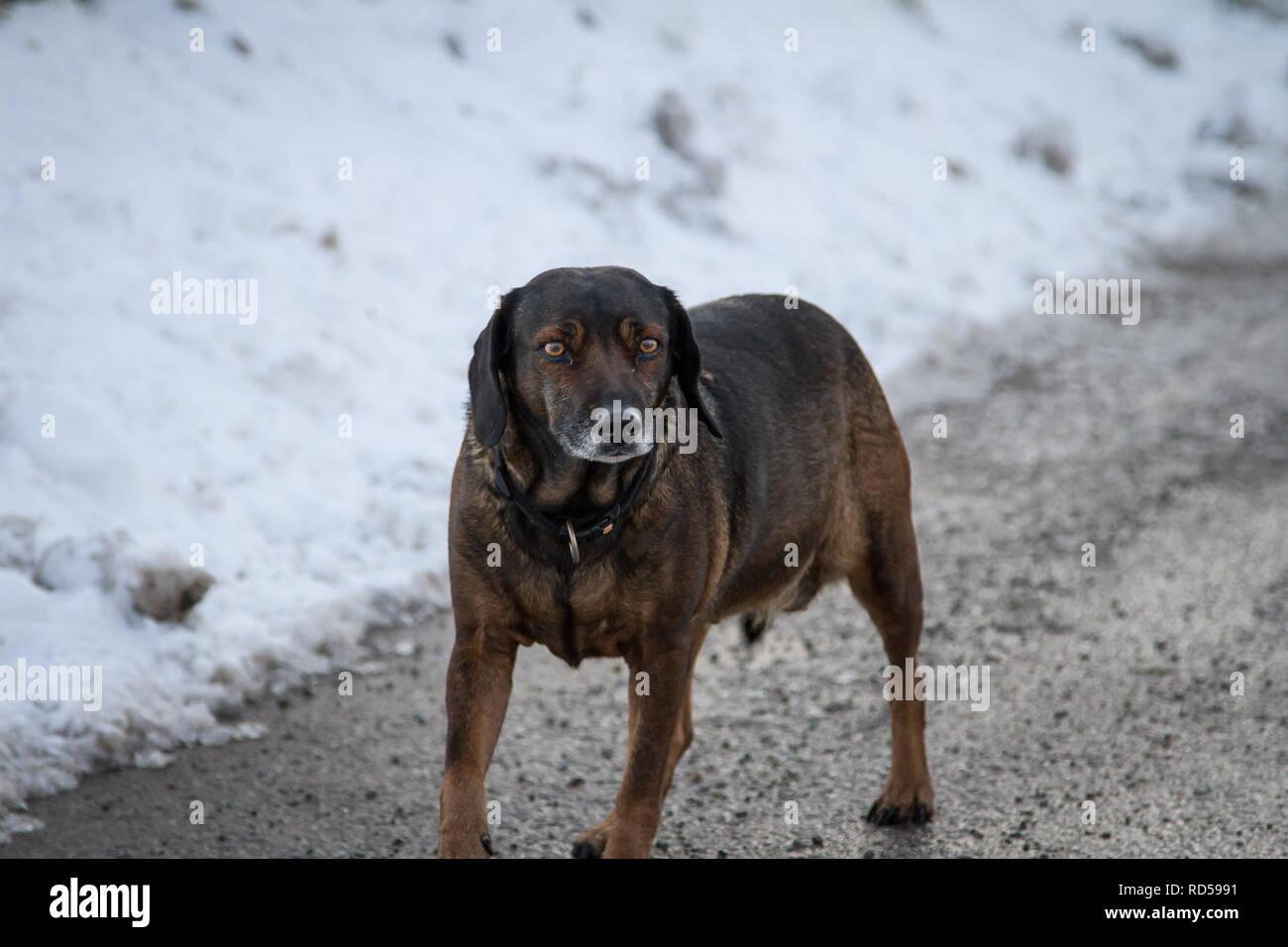 Obese crossbred dog out for a walk on a winter day Stock Photo