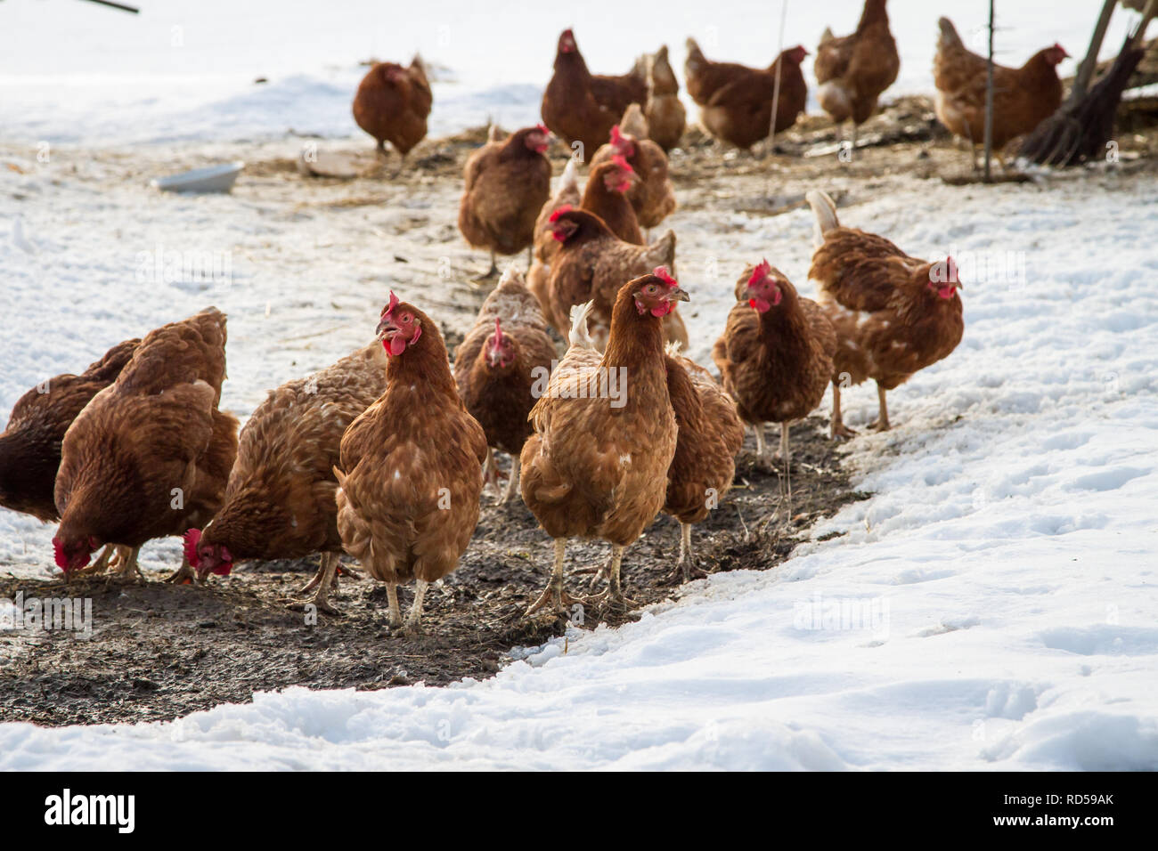 Free-range hens [Gallus gallus domesticus] on a cold winter day, chicken-run covered with snow - Stock Image