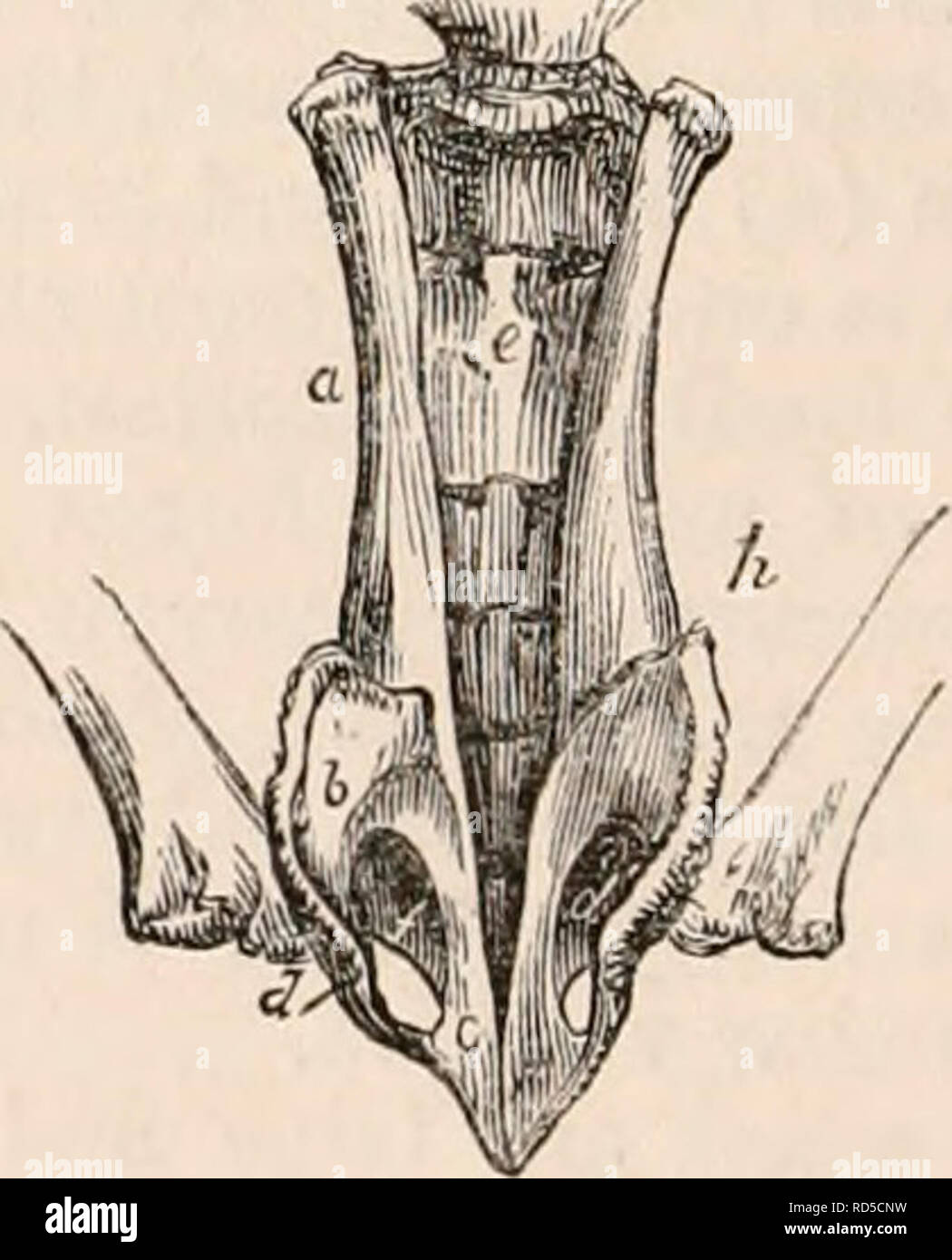 . The cyclopædia of anatomy and physiology. Anatomy; Physiology; Zoology. Pelvis of the Cape Ant-eater, side view. In the great American Ant-eater, both the ilia and ischia abut closely on the sacral trans- verse processes, presenting a faint suture at the line of junction. The pelvis is proportion- ately smaller and lighter, and the processes and spines much less marked than in the Cape Ant- eater. The lumbo-iliac angle in the Ant-eaters is 140°, the ilio-ischial 140° ; and the ilio-pubic is reversed, and about 155°. The Manis possess pelves of the same ge- neral heavy appearance as the Ameri - Stock Image