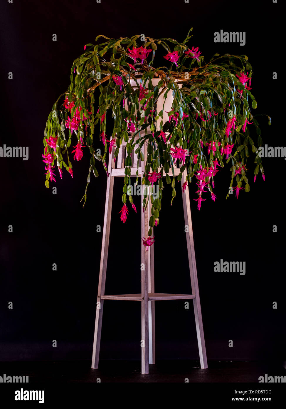 Schlumbergera or Christmas cactus grown as a houseplant on a pedestal with a black background. Flowering in january. - Stock Image