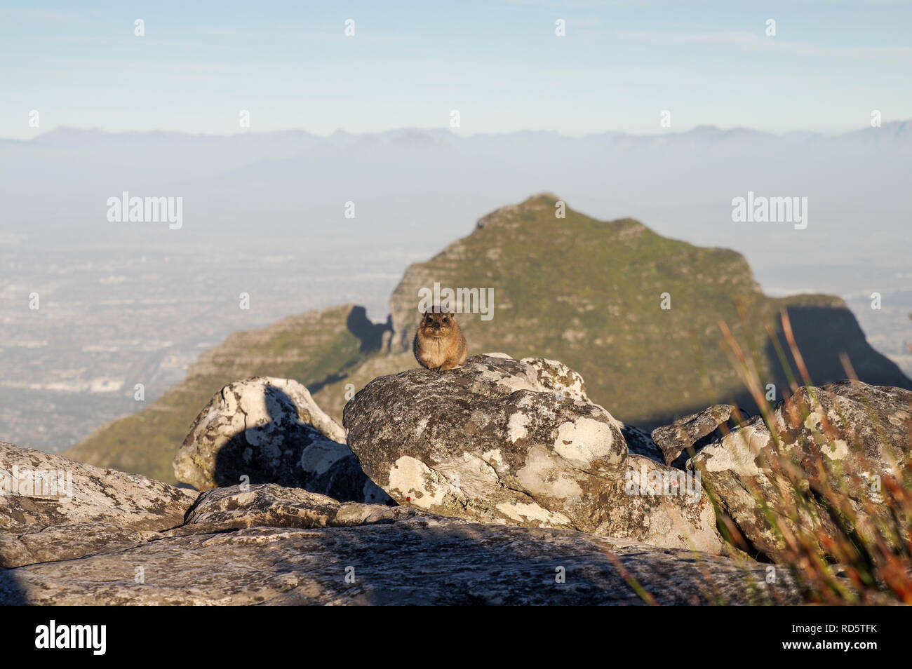 Rock Hyrax posing in front of Devil's Peak on the top of Table Mountain in Cape Town, South Africa - Stock Image