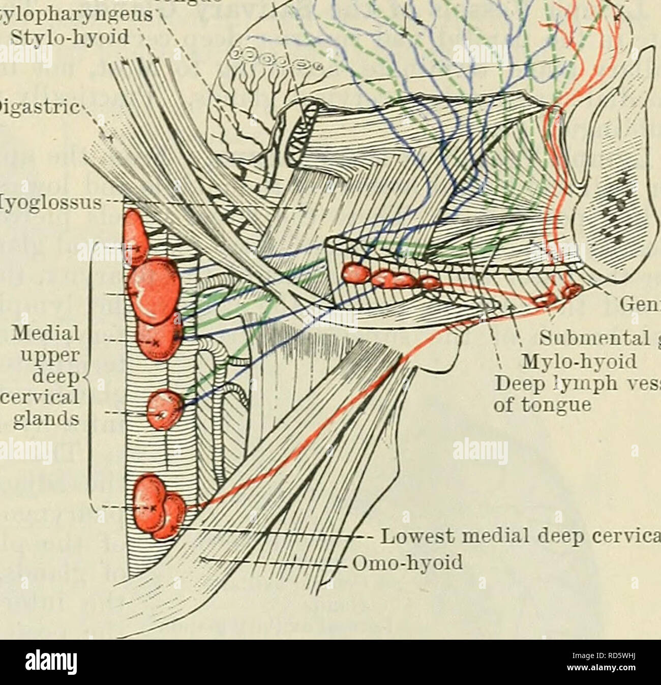 geniohyoid ubmental glands medial - cervical gland fig  803 �diagram of  side-view the lymph vessels of the modified