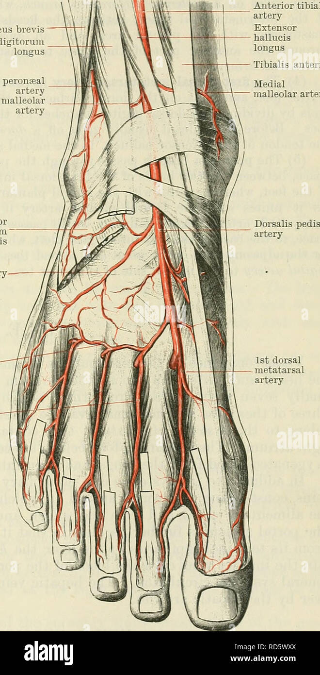 . Cunningham's Text-book of anatomy. Anatomy. THE ANTEKIOK TIBIAL AETEEY. 957 (7) The lateral anterior malleolar branch, more constant and larger than the medial, passes laterally, posterior to the extensor digitorum longus and peronseus tertius, towards the lateral malleolus. It anastomoses with the perforating branch of the peronseal artery and with the tarsal artery, and supplies the ankle-joint and the adjacent articulations. Dorsalis Pedis Artery.—The dorsal artery of the foot is the direct continuation of the anterior tibial; it commences opposite the front of the ankle-joint, and extend - Stock Image