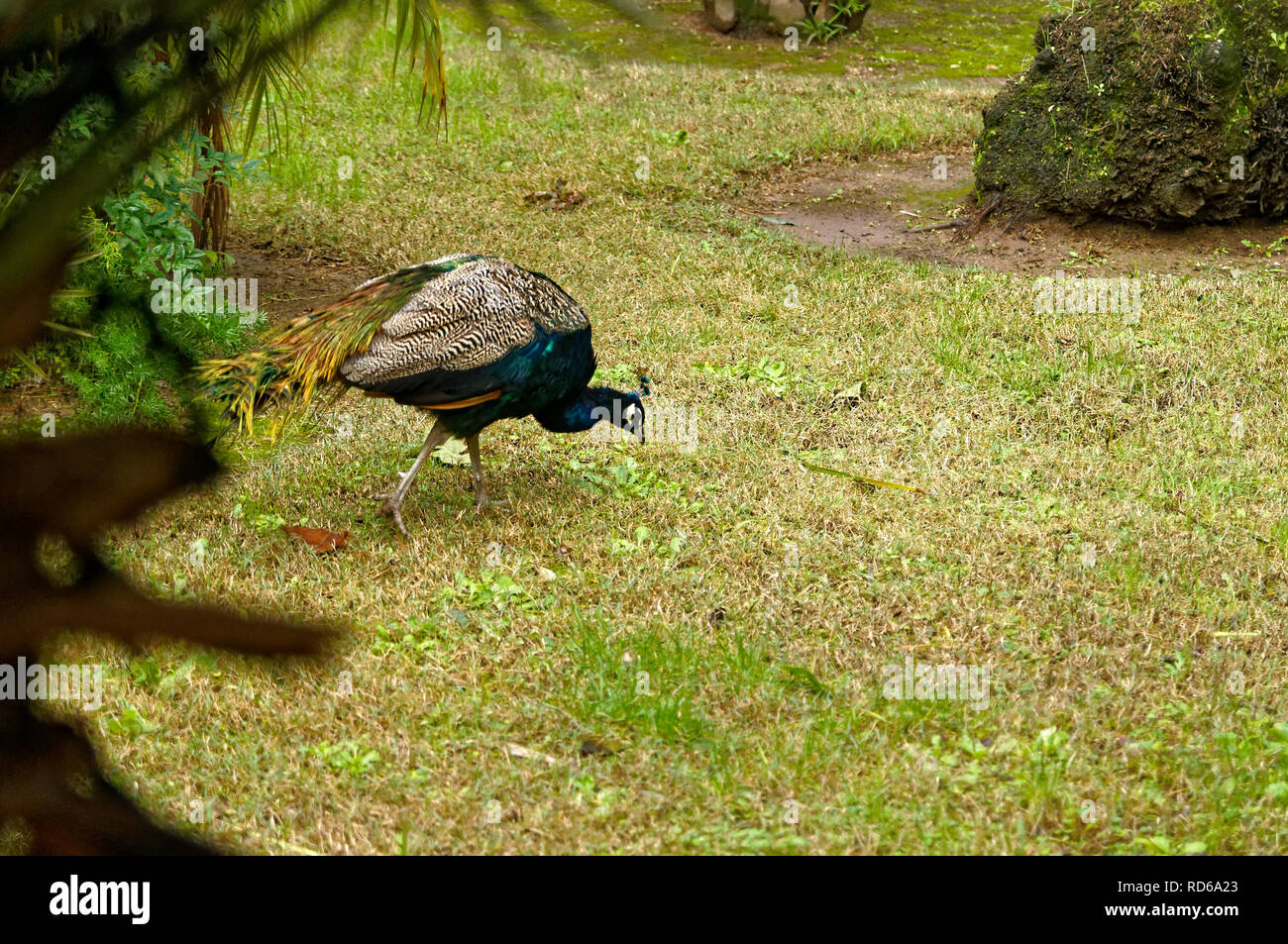Male peafowl (peacock) walking on the grass in a park.  French Riviera - Stock Image