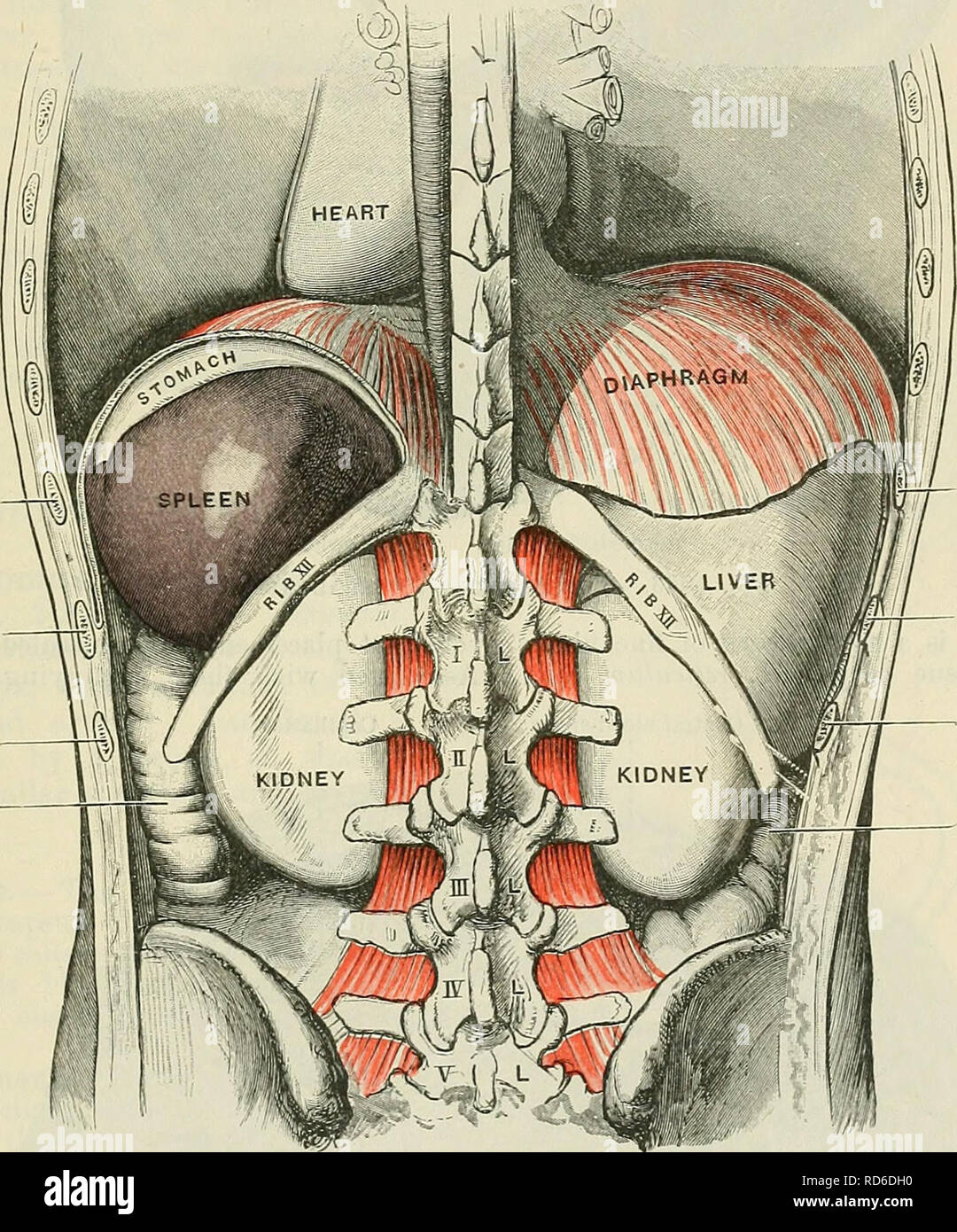 . Cunningham's Text-book of anatomy. Anatomy. THE SPLEEK 1353 gastric, and renal surfaces; anterior, at the junction of the diaphragmatic, gastric, and basal surfaces; posterior, at the junction of the diaphragmatic, renal, and basal surfaces; intermediate, at the junction of the renal, gastric, and basal surfaces. In a spleen of orange-segment form there are but two angles, a superior and an anterior. The superior is bounded in the same way as in the tetrahedral form; the anterior, by the dia- phragmatic, gastric, and renal surfaces. In all spleens, but most commonly in those of oblique, irre Stock Photo