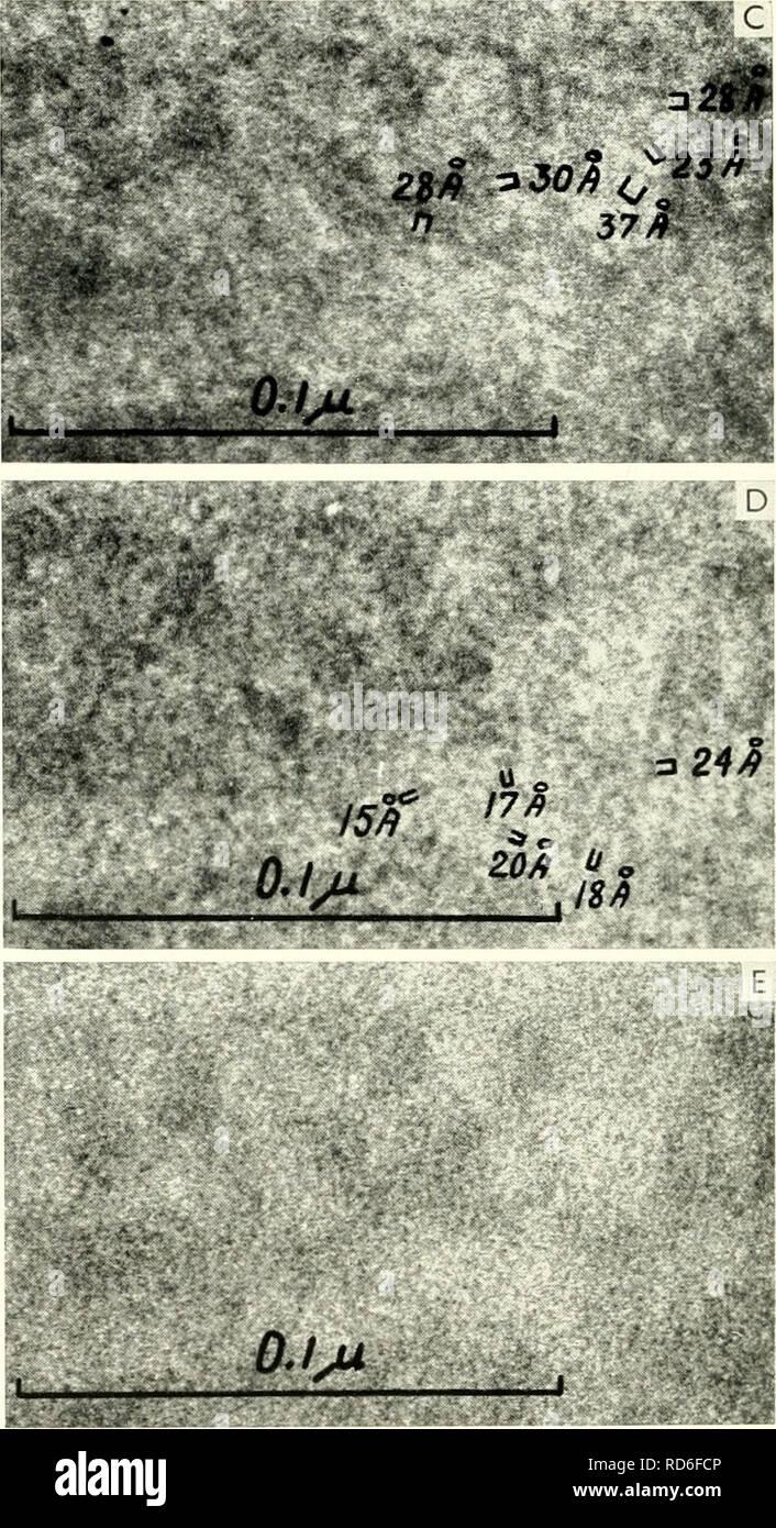 """. Electron microscopy; proceedings of the Stockholm Conference, September, 1956. Electron microscopy. Abb. 1. ,,Streusternchcn"""" nach Scheffels als Beispiel fiir Kontrast, der durch Schwankungen der Stromdichte im Objekt verursacht wird. Abb. 2. Phasenkontrast durch Defokussierung nach Sjo- strand, welcher dieses Bild freundlicherweise zur Verfiigung steUte. Man kann sich also die Bildentstehung ganz ana- log zu der des Lichtmikroskops unter weitgehender Verwendung der in der Lichtoptik verwandten Be- griffe vorstellen. Anstelle des Absorptionskoeffizien- ten der Lichtoptik tritt in der El - Stock Image"""