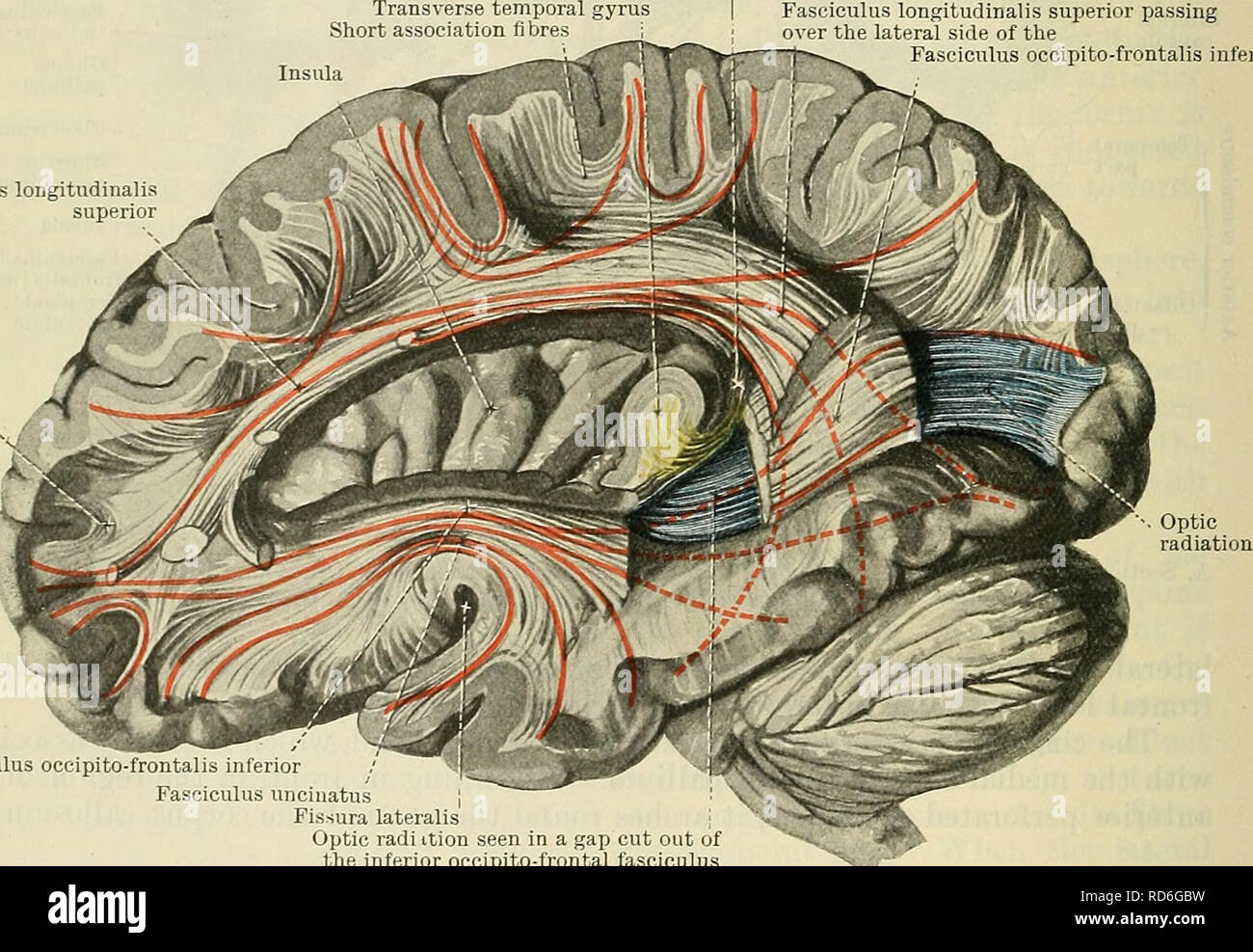 . Cunningham's Text-book of anatomy. Anatomy. 650 THE NEEVOUS SYSTEM. the hinpocanipal gyrus, to the uncus and the temporal pole. The cinguluni is composed of several systems of fibres which run only for short distances within it. The fasciculus longitudinalis superior is an arcuate bundle which is placed on the lateral aspect of the foot or basal part of the corona radiata and connects the frontal, occipital, and temporal regions of the hemisphere. It lies in the base of the superior operculum and sweeps backwards over the insular region to the posterior end of the lateral cerebral fissure. H Stock Photo