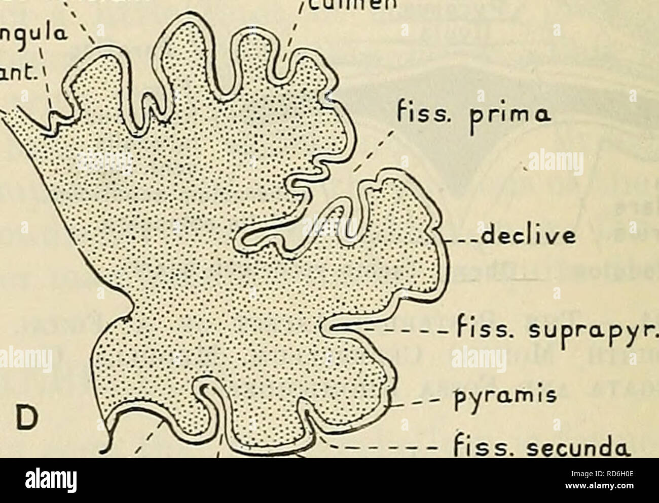 . Cunningham's Text-book of anatomy. Anatomy. v uvula N lobus posterior iss. prima fiss. postnodul.. D nodulus . _ - pyramis — fiss. secunda fiss.ppstnodularis uvu a Fig. 507.—Median Sagittal Sections of Fcetal Cerebella in Four Stages of Development. A and B, third month; C, fourth month ; D, fifth month. declive which is described as consisting of three parts (declive, folium vermis, and tuber vermis). 1 The term medial is used advisedly because, the anterior and posterior lobes having quite insignificant lateral connexions, the rest of the vermis is virtually the medial continuation of (or  - Stock Image