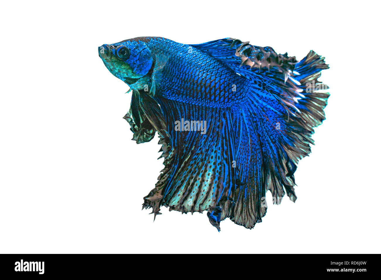 Blue siamese fighting fish,Halfmoon betta fish isolated on white background. Stock Photo