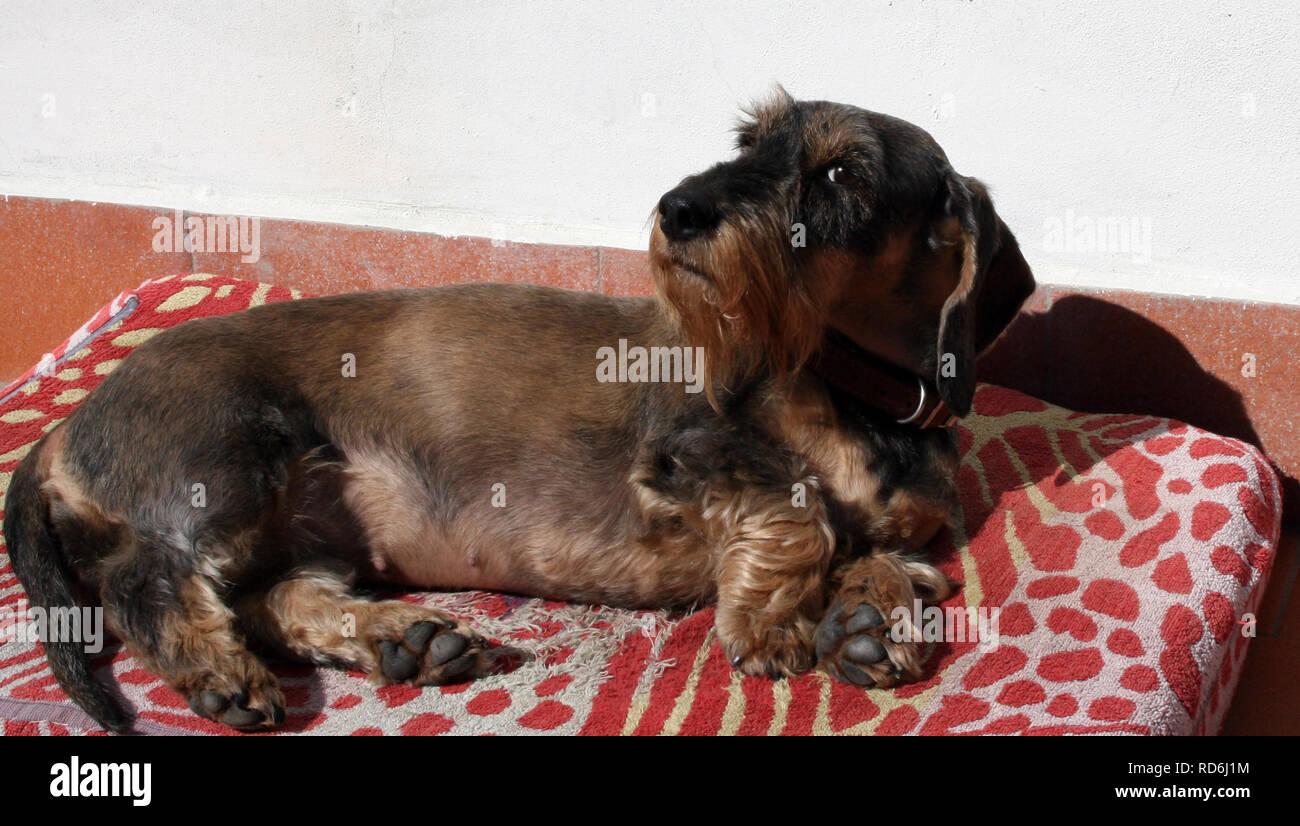 dog looking at camera - Stock Image