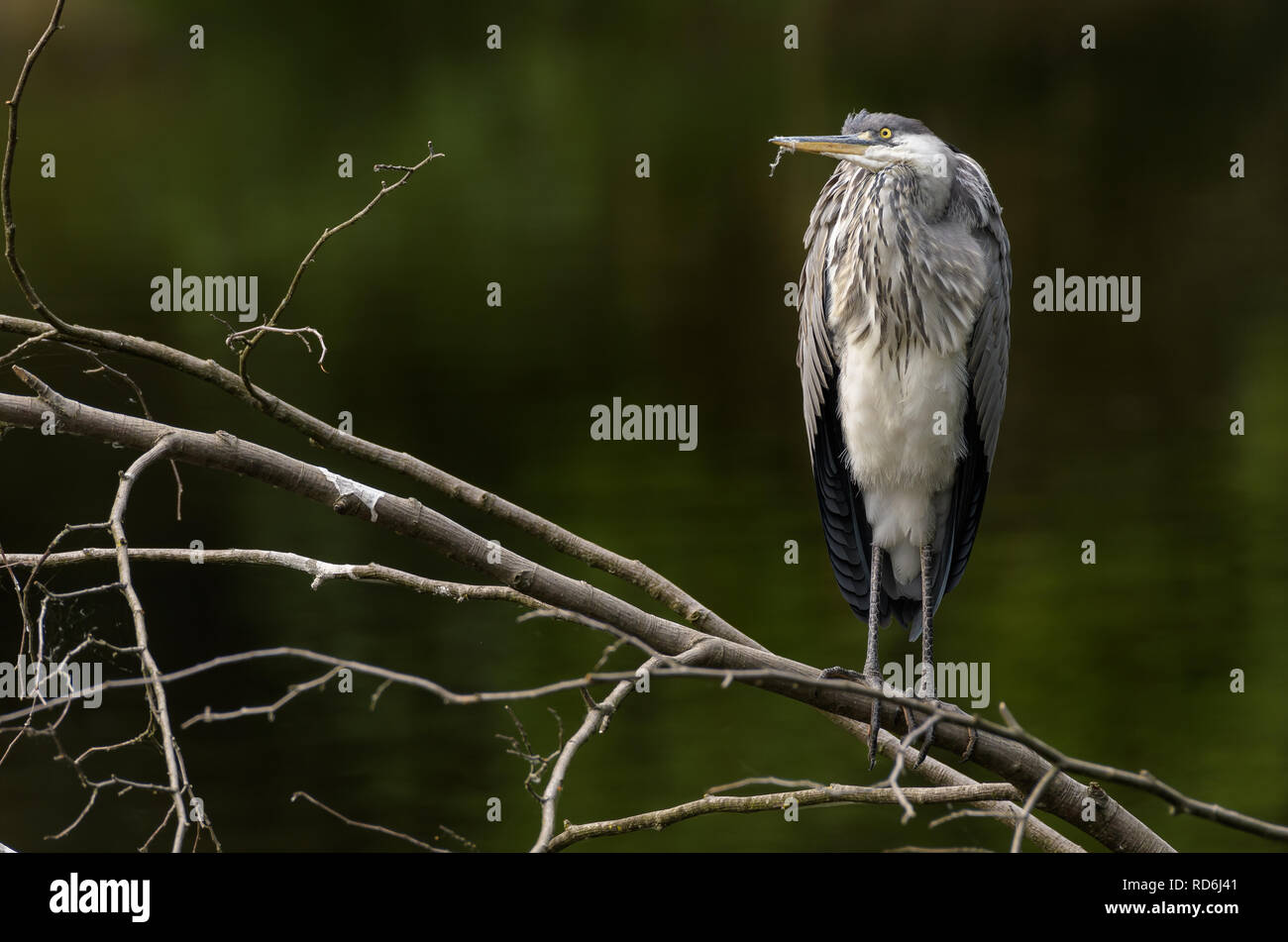 The grey heron, Ardea cinerea sitting on brunch in green lake Stock Photo