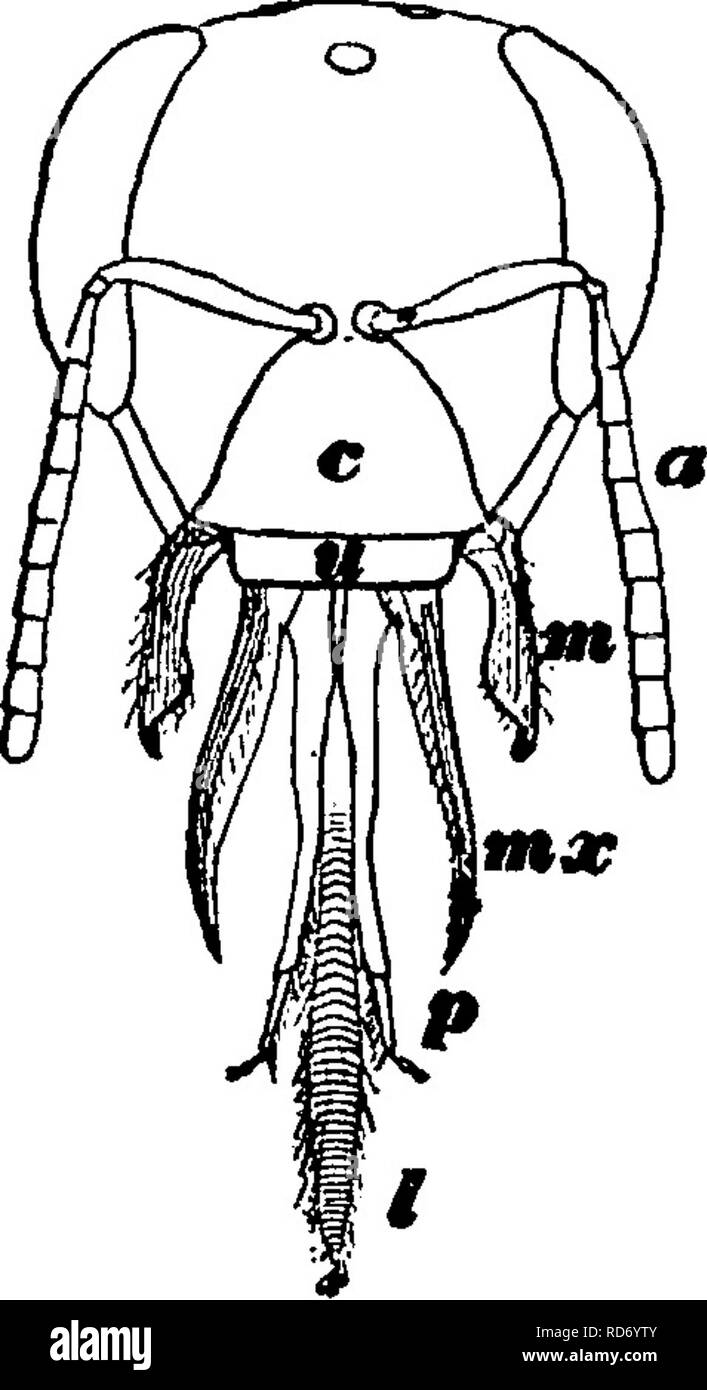 . A manual for the study of insects. Insects. Fig. 730.âWing's of the honey-bee. With other insects the mouth-parts, if well developed, are formed either for biting or for sucking, but in this order they are adapted to serve both purposes (Fig. 731). The mandibles are fitted for biting, and they are sometimes very powerful. The maxillae, in the typical members of the order, are long, membranous or leathery, and form a sheath to the labium, the three organs thus constituting an appara- tus for sucking or lapping liquid food. The maxillary and the labial palpi are present. ^ r r r- Y^^ 731.âHead - Stock Image