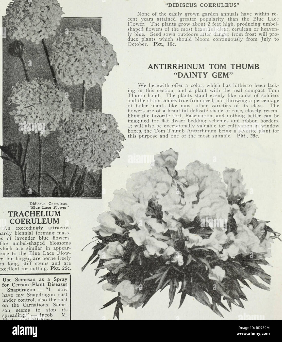 """. Currie's farm and garden annual : spring 1930. Flowers Seeds Catalogs; Bulbs (Plants) Seeds Catalogs; Vegetables Seeds Catalogs; Nurseries (Horticulture) Catalogs; Plants, Ornamental Catalogs; Gardening Equipment and supplies Catalogs. Didiscus Coeruleus. """"Blue Lace Flower"""" TRACHELIUM COERULEUM An exceedingly attractive hardy biennial forming mass- es of lavender blue flowers. The umbel-shaped blossoms which are similar in appear- ance to the Blue Lace Flow- er, but larger, are borne freely on long, stiff stems and are excellent for cutting. Pkt. 25c. Use Semesan as a Spray for Cer Stock Photo"""