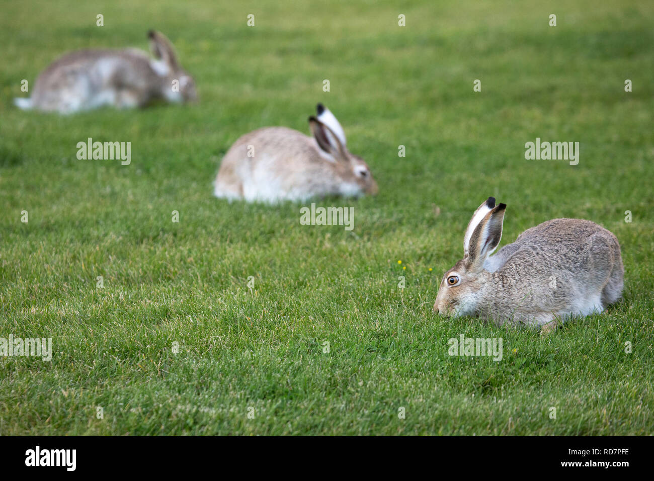 Three white tailed jackrabbits (Lepus townsendi) grazing on urban lawn - Stock Image