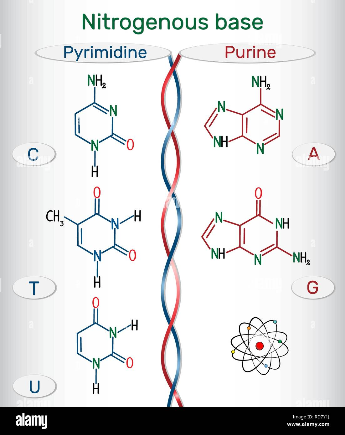 Chemical structural formulas of purine and pyrimidine nitrogenous bases: adenine (A, Ade), guanine (G, Gua) , thymine (T, Thy), uracil (U), cytosine ( - Stock Image