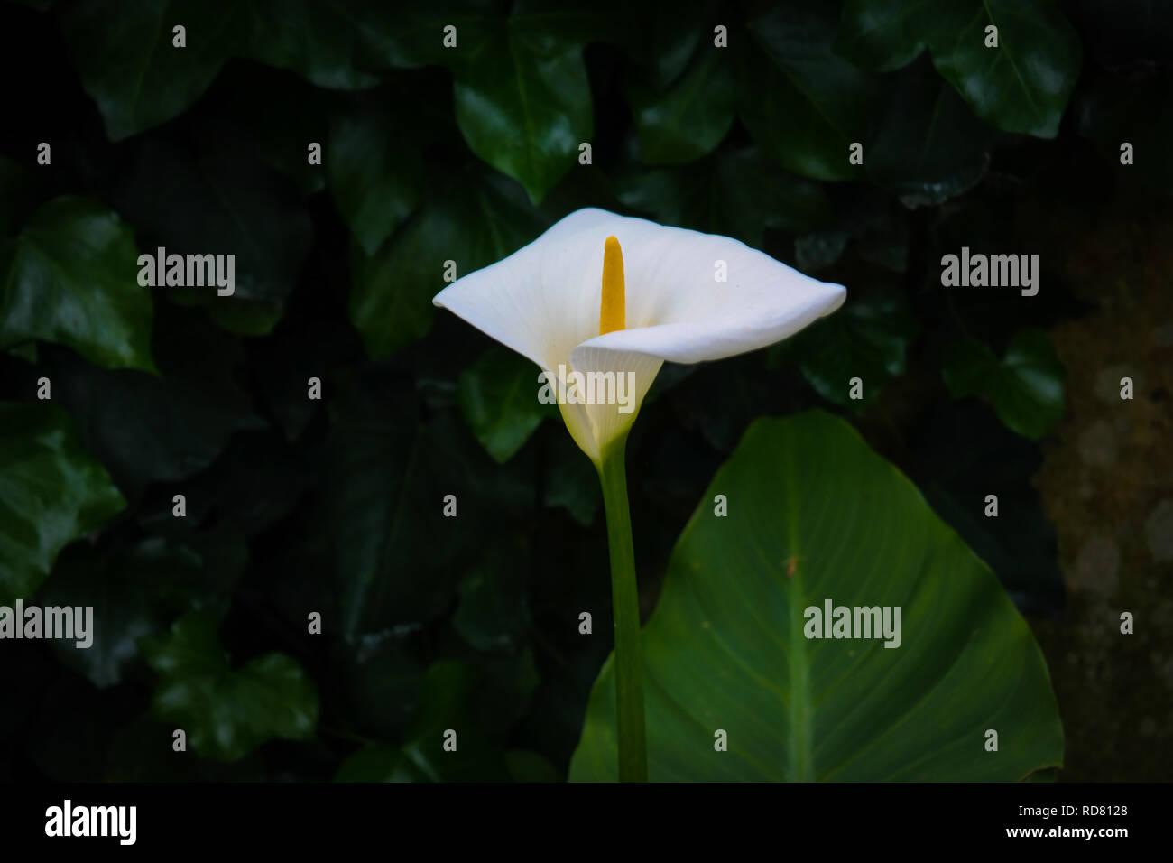 Lisbon, Arum Lily - Stock Image