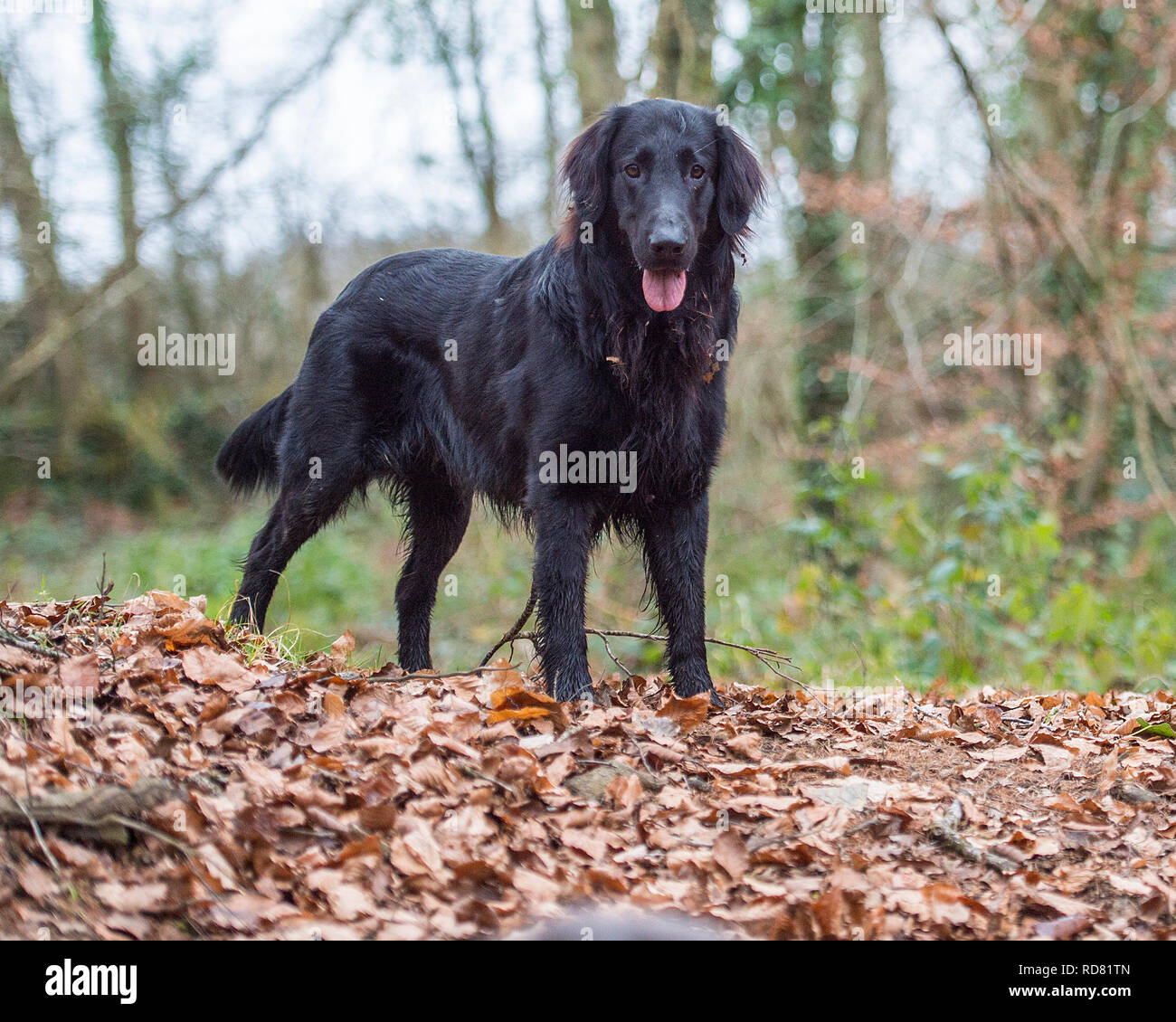 flatcoated retriever dog Stock Photo: 231902405 - Alamy
