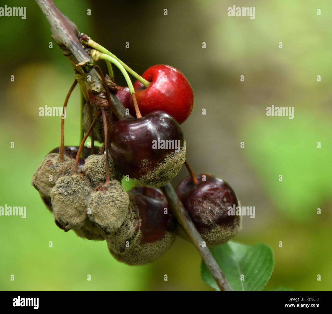 Cherries damaged by too much rain and warmth, causing brown rot (Manilinia fructicola) - Stock Image