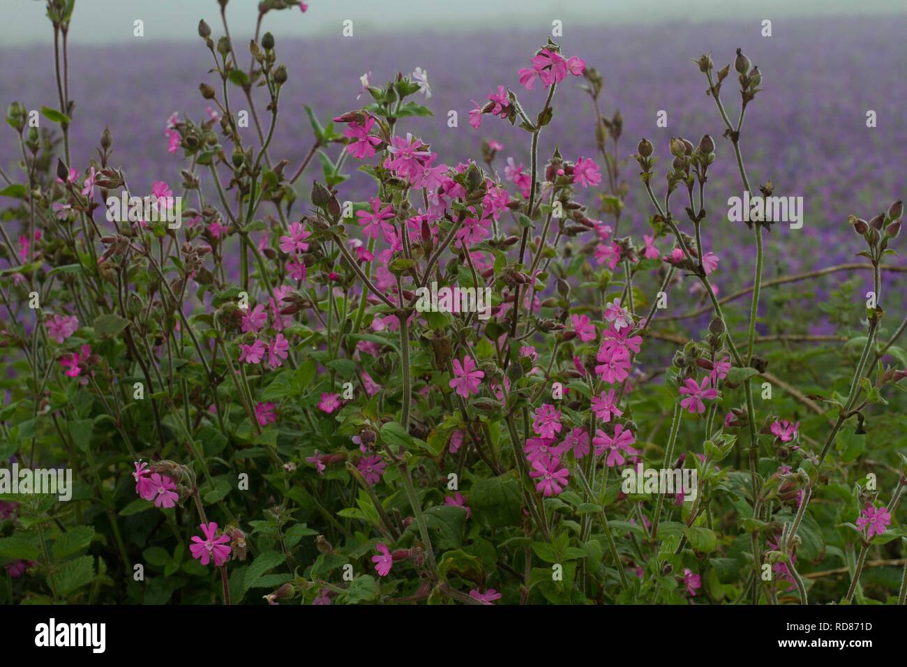 Red Campion (Silene dioica ) with Corn Marigold background , National Trust property. Stock Photo