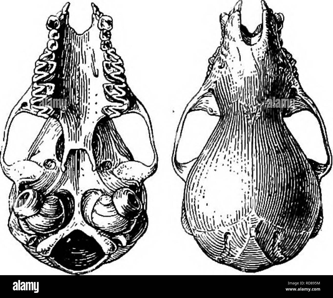 . The families and genera of bats . Bats; Bats. commissures well developed, the area of the crown about half that of first or second; lower molars with all the cusps present and normal in form, no great contrast in height of protoconid and hypoconid in m ! and m ,. Skull (fig. 38) slender and lightly built, the braincase large, smoothly rounded and abruptly elevated anteriorly, the rostrum slender and weak. There is no indication of sagittal crest or of supraorbital or lachrymal ridges. Nares very narrow, the width of the aperture as viewed from above scarcely or not half the length. Anterior  - Stock Image