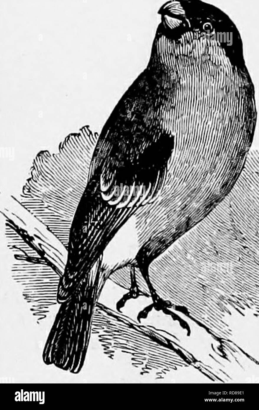 . The popular natural history . Zoology. 348 THE BULLFISCH. mole-hill, or the old furrow of a plough. It is very well concealed, the top of the nest being only just on a level with the surface of the ground, and sometimes below it. I have known several instances where the young Larks would suffer themselves to be fed by hand as they sat in their nests, but the parent birds always seemed distressed at the intrusion into their premises. The materials of which it is made are dry grasses, bents, leaves, and hair, the hair being generally used in the hning. It will be seen that the sober colouring  - Stock Image