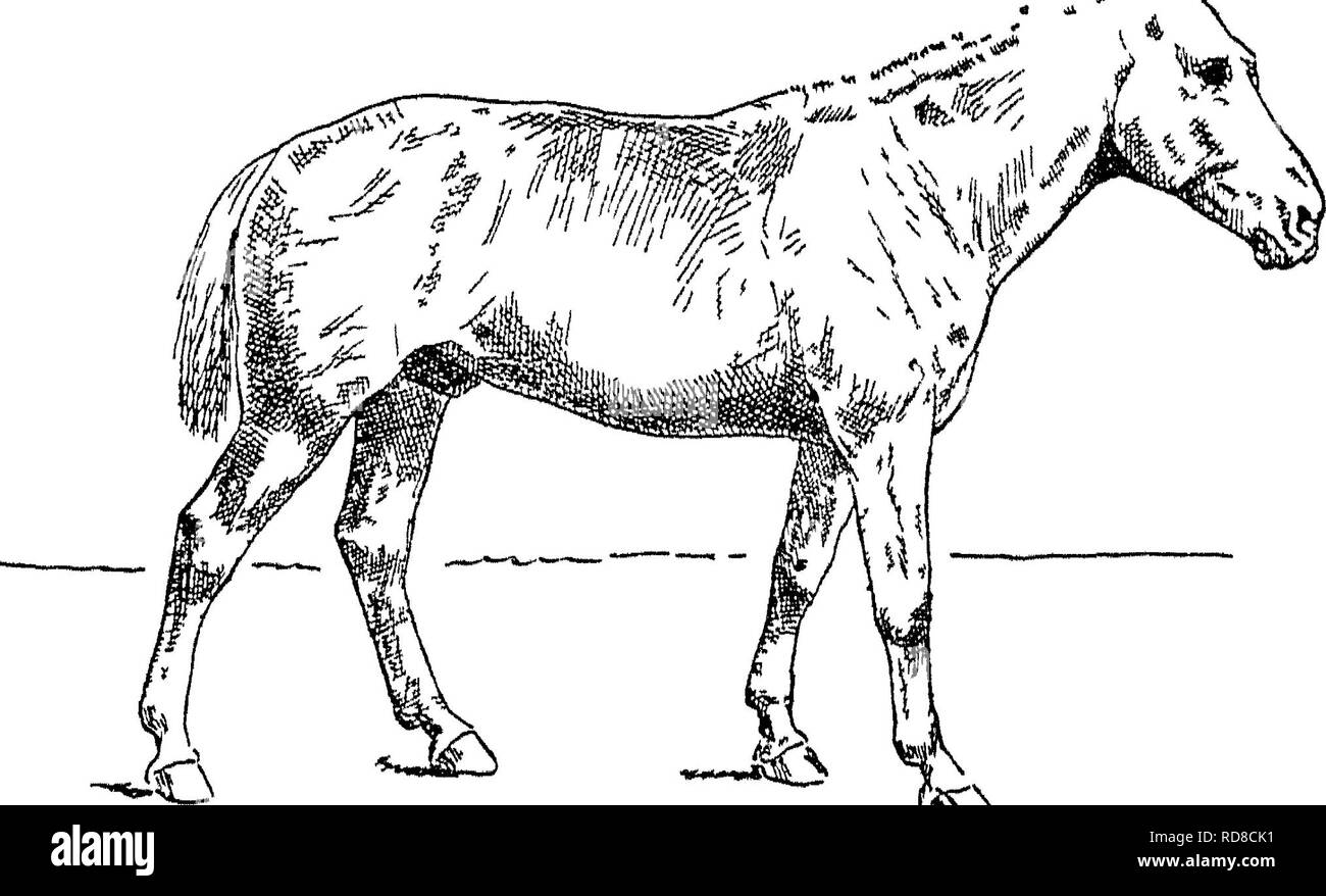 . Points of the horse; a treatise on the conformation, movements, breeds and evolution of the horse. Horses. 270 REMARKS ON VARIOUS BREEDS OF HORSES. are simply balls of muscle The capable and light-hearted way in which one of these grand Lilhputs can trot away with a four-wheeled carriage containing five or six heavy men, is a sight worth going many miles to see. Acheen, which is in the north of Sumatra, has a good breed of ponies. The Java pony, though a relation of, is inferior to the Dell pony. Mongolian Ponies.—Under this broad heading I would class a breed of ponies which is found in the - Stock Image