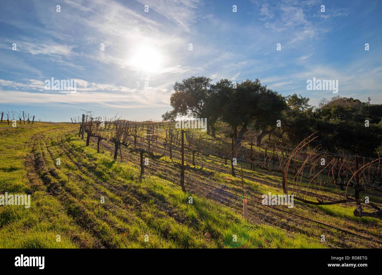 Winter sun over vineyard in Central California United States Stock Photo